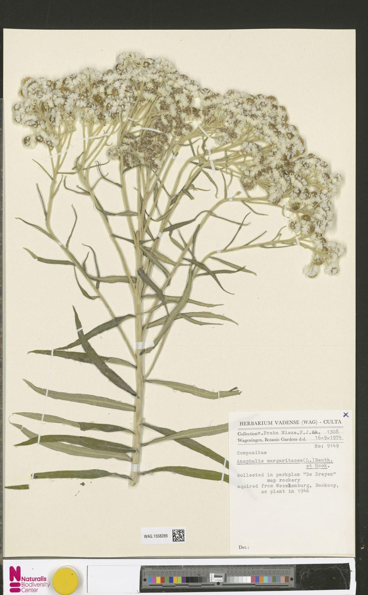 WAG.1558285 | Anaphalis margaritacea (L.) Benth. & Hook.f.