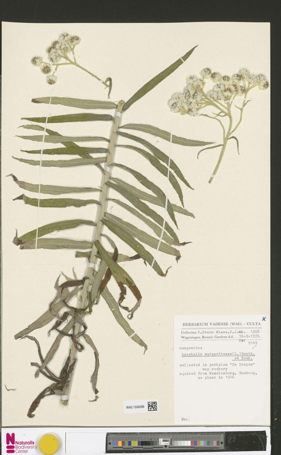 WAG.1558286 | Anaphalis margaritacea (L.) Benth. & Hook.f.