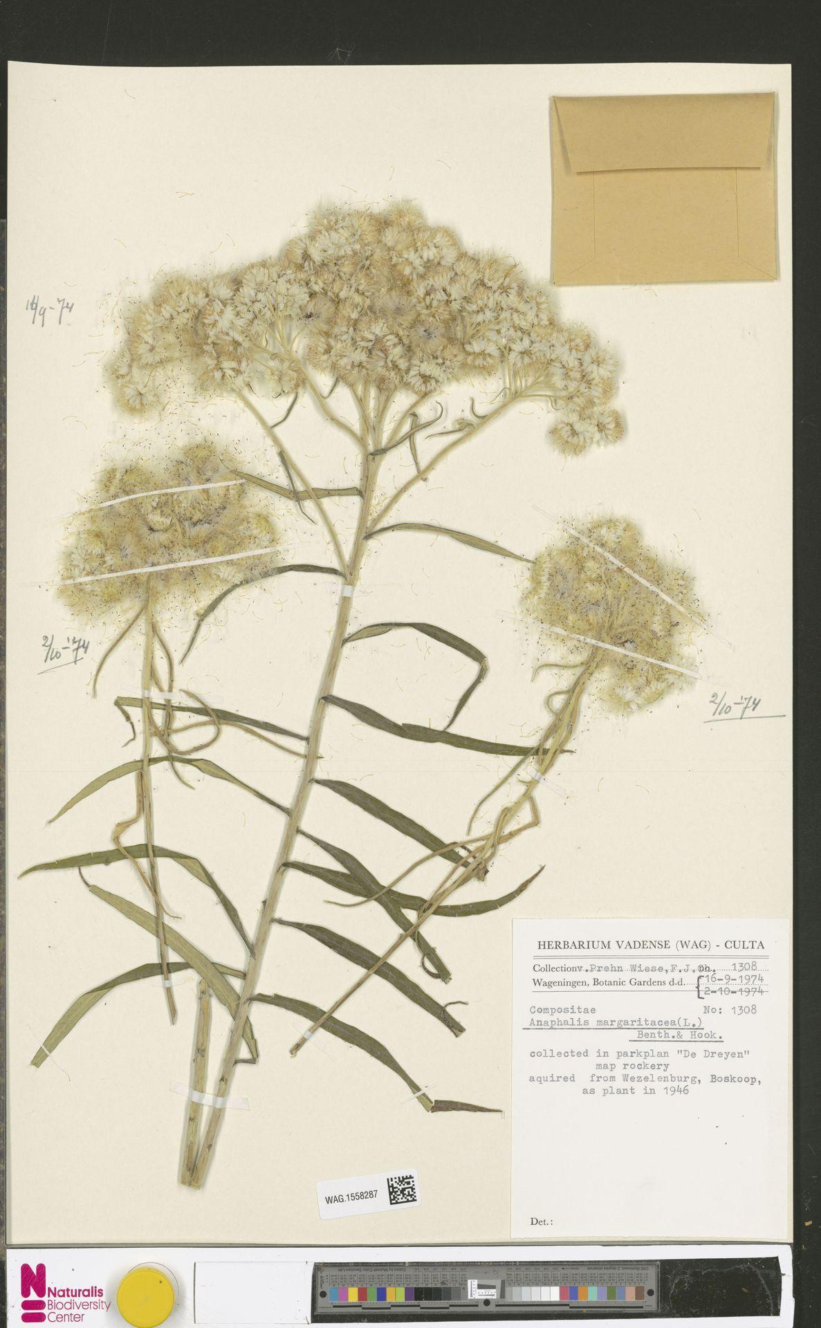 WAG.1558287 | Anaphalis margaritacea (L.) Benth. & Hook.f.