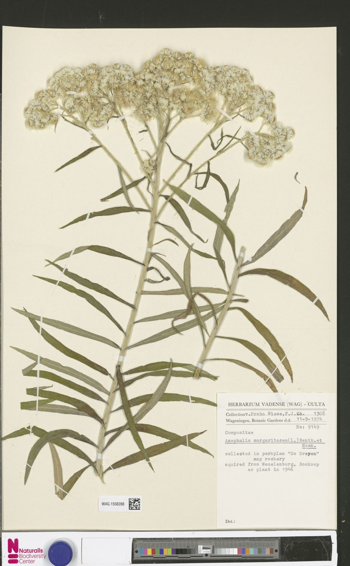 WAG.1558288 | Anaphalis margaritacea (L.) Benth. & Hook.f.