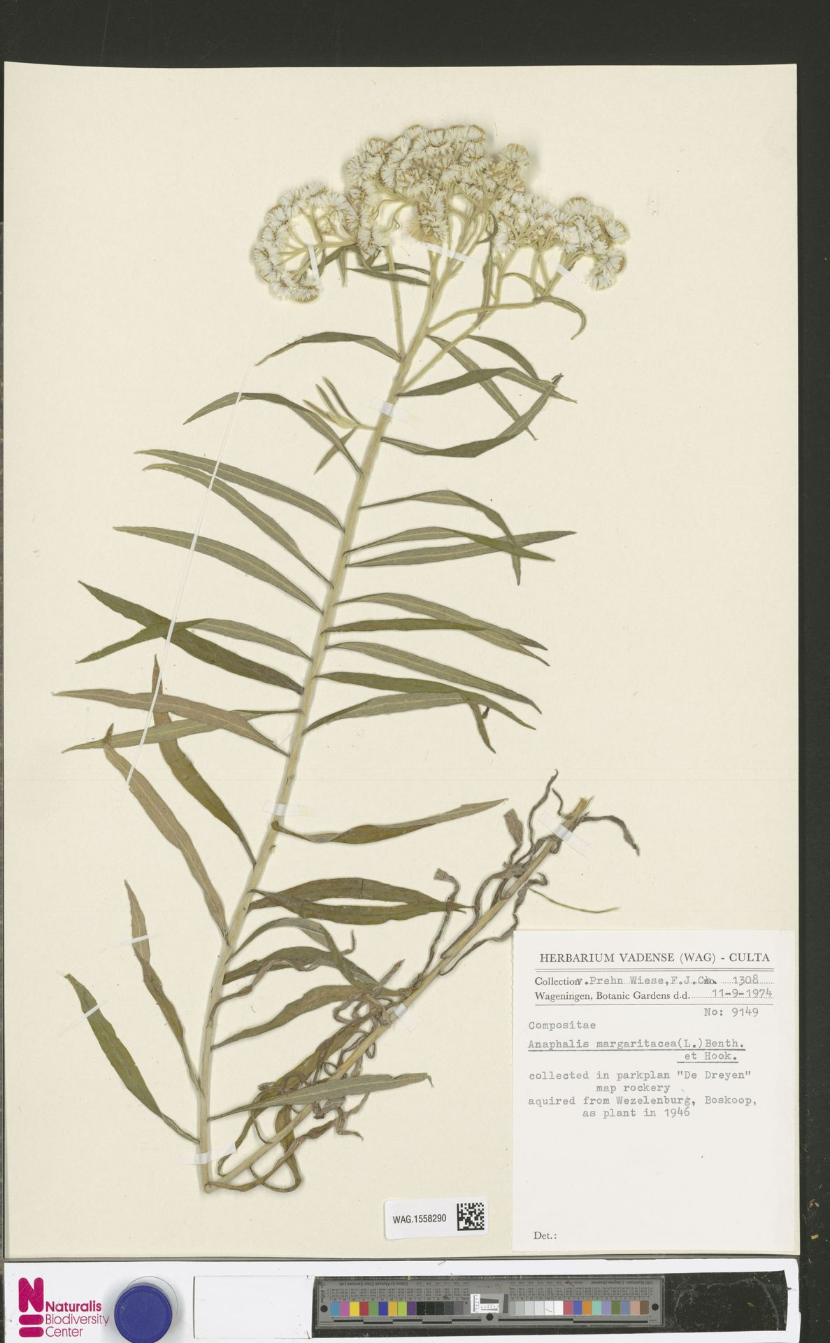WAG.1558290 | Anaphalis margaritacea (L.) Benth. & Hook.f.