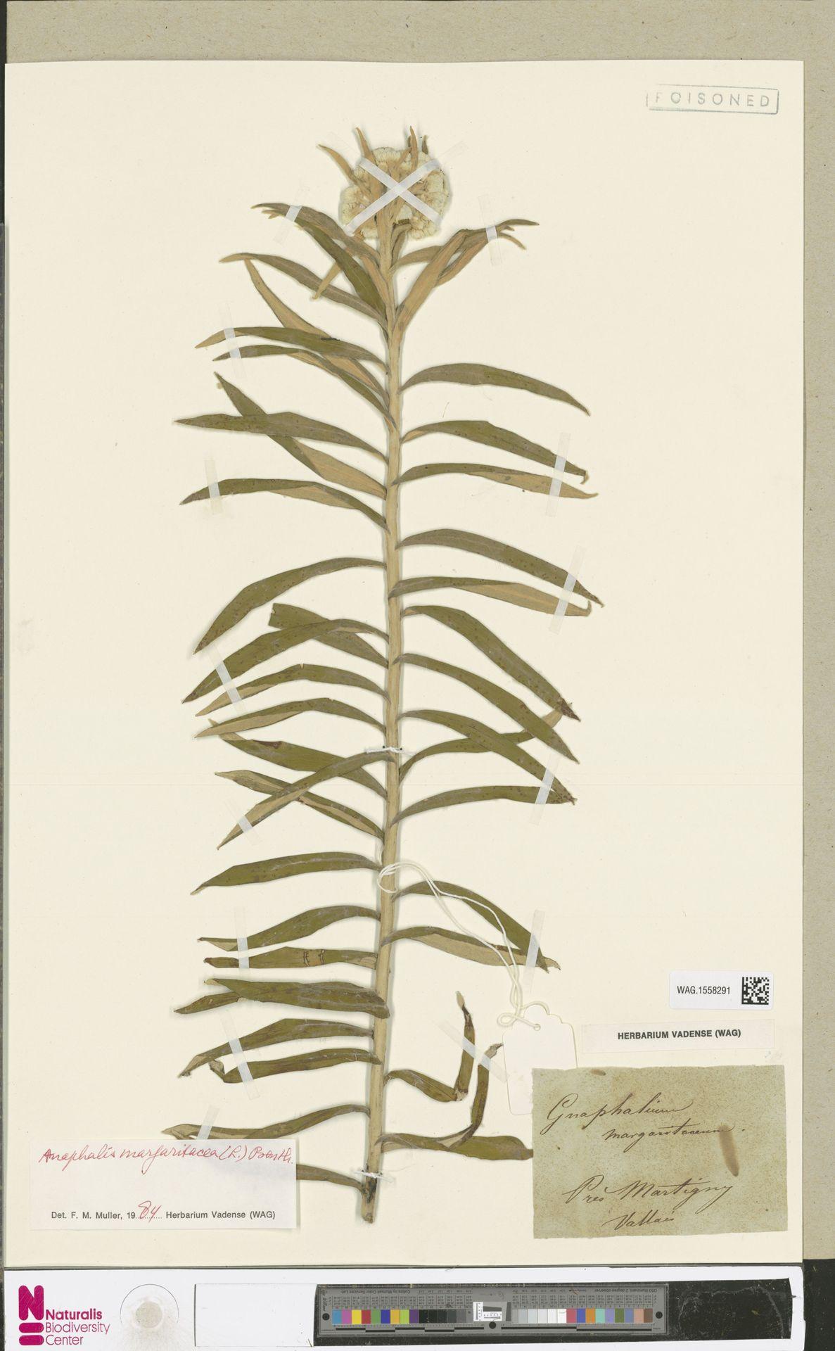 WAG.1558291 | Anaphalis margaritacea (L.) Benth. & Hook.f.