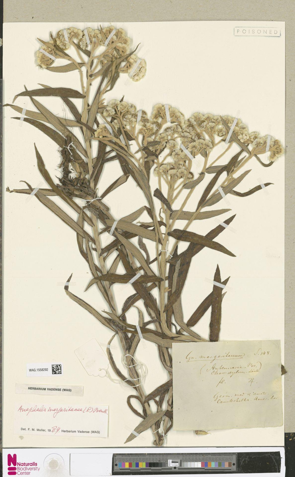 WAG.1558292 | Anaphalis margaritacea (L.) Benth. & Hook.f.