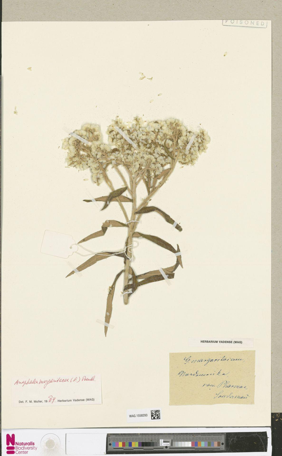 WAG.1558293 | Anaphalis margaritacea (L.) Benth. & Hook.f.