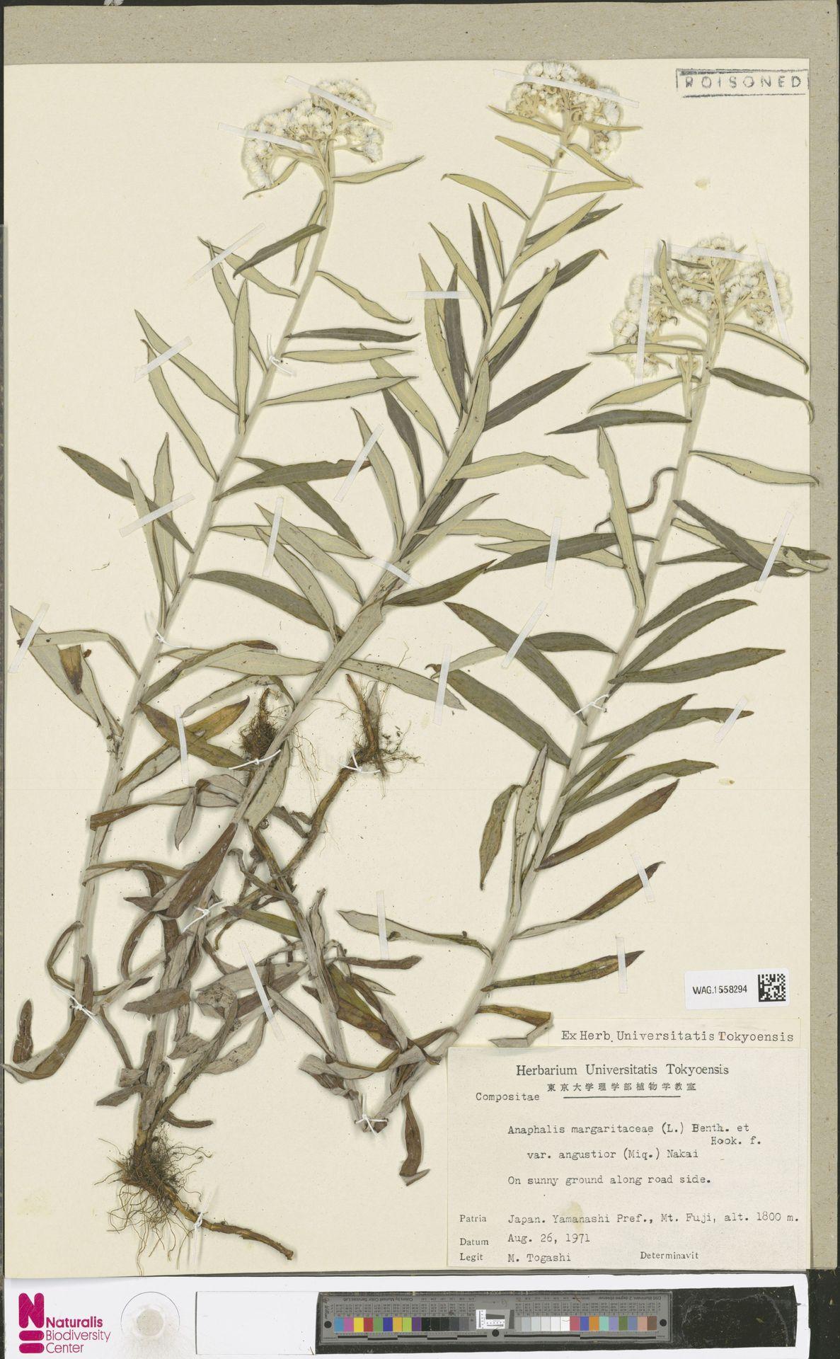 WAG.1558294 | Anaphalis margaritacea (L.) Benth. & Hook.f.