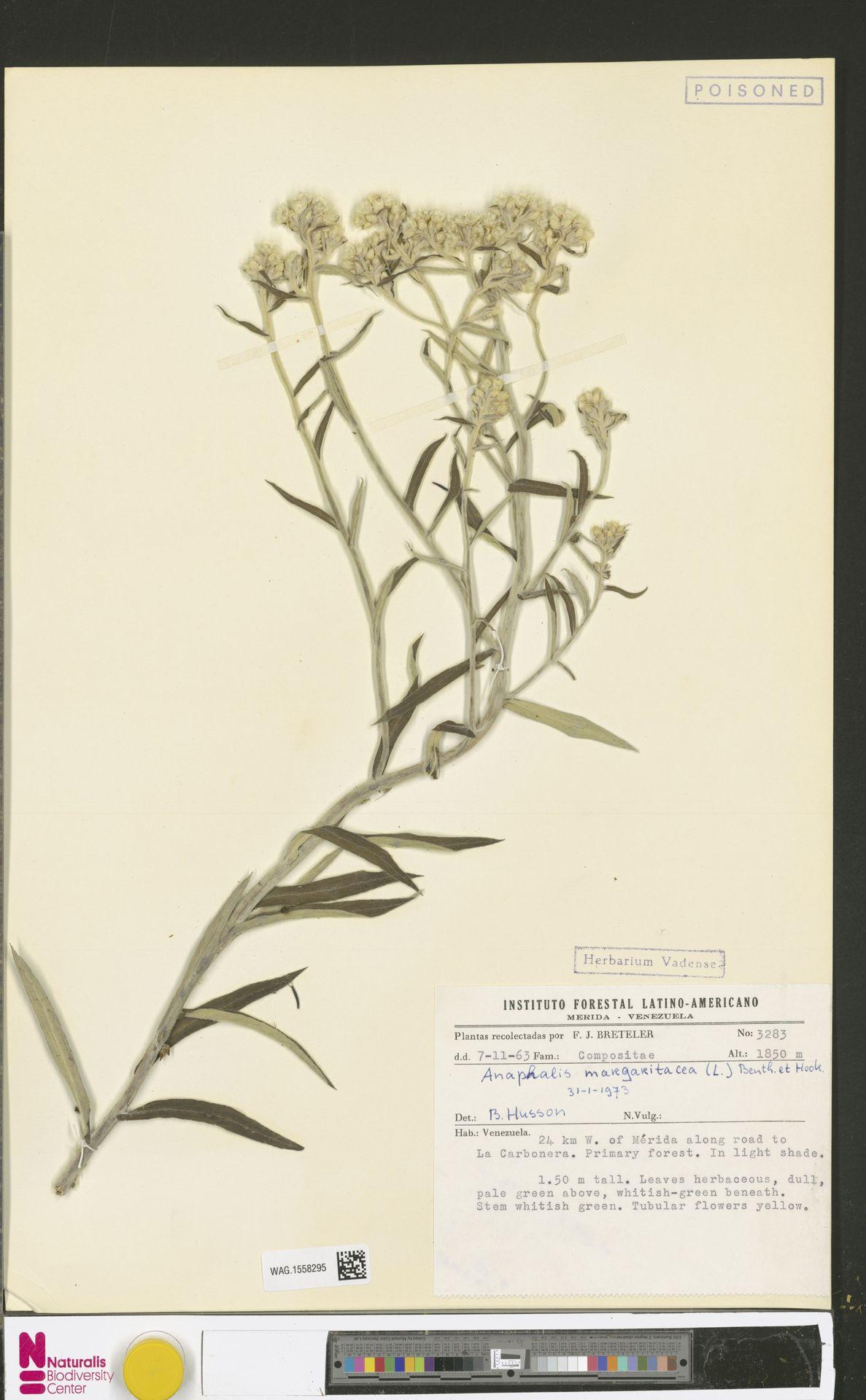WAG.1558295 | Anaphalis margaritacea (L.) Benth. & Hook.f.