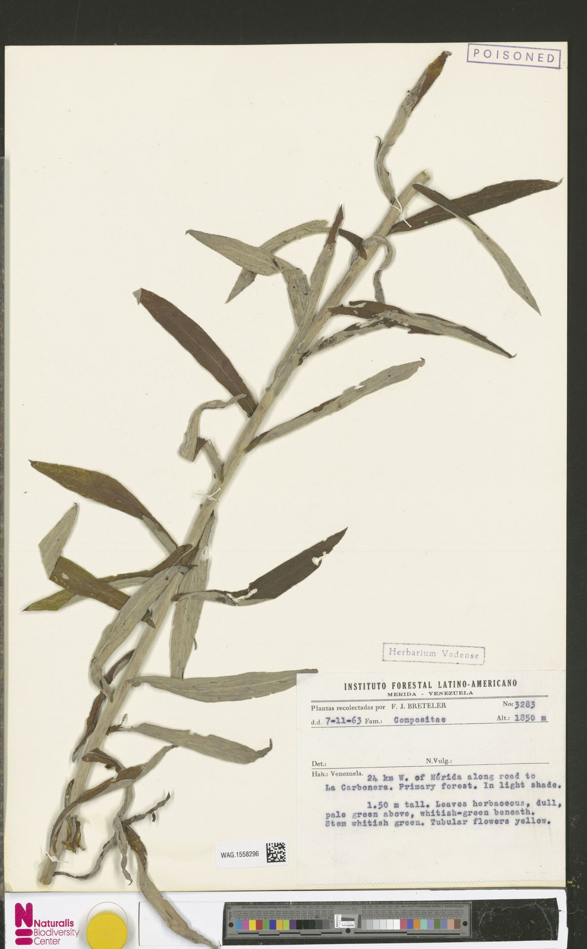 WAG.1558296 | Anaphalis margaritacea (L.) Benth. & Hook.f.