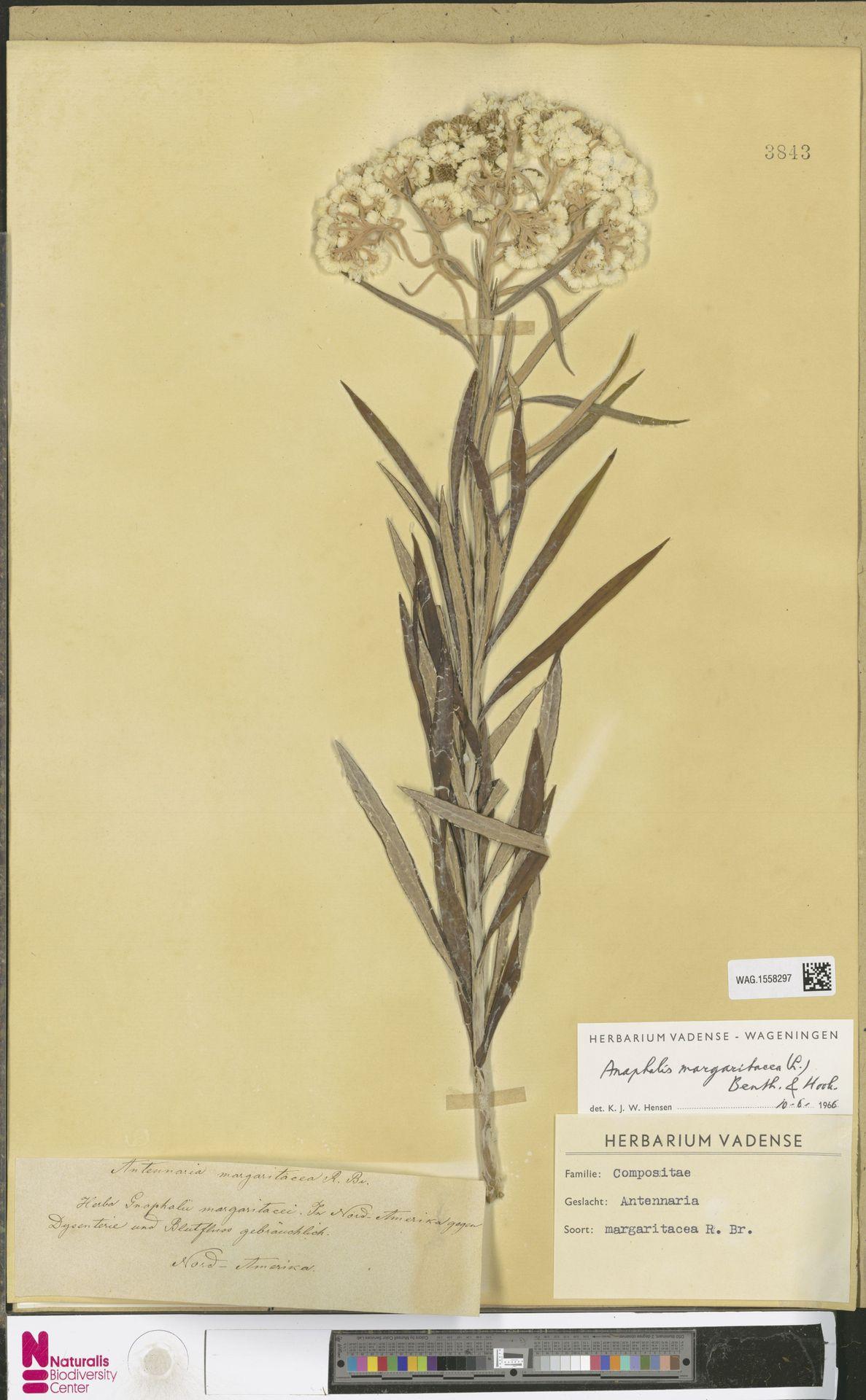 WAG.1558297 | Anaphalis margaritacea (L.) Benth. & Hook.f.