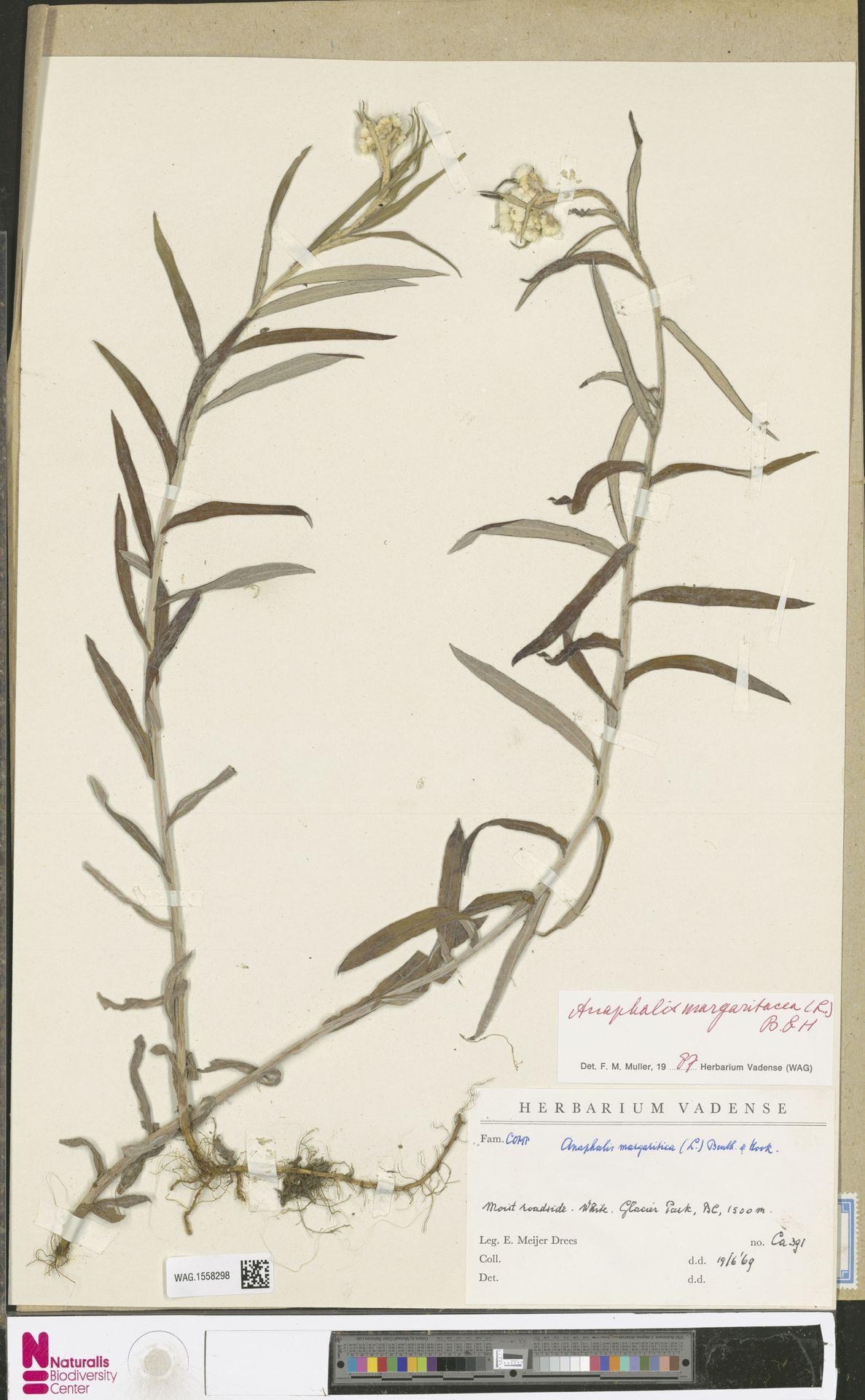 WAG.1558298 | Anaphalis margaritacea (L.) Benth. & Hook.f.