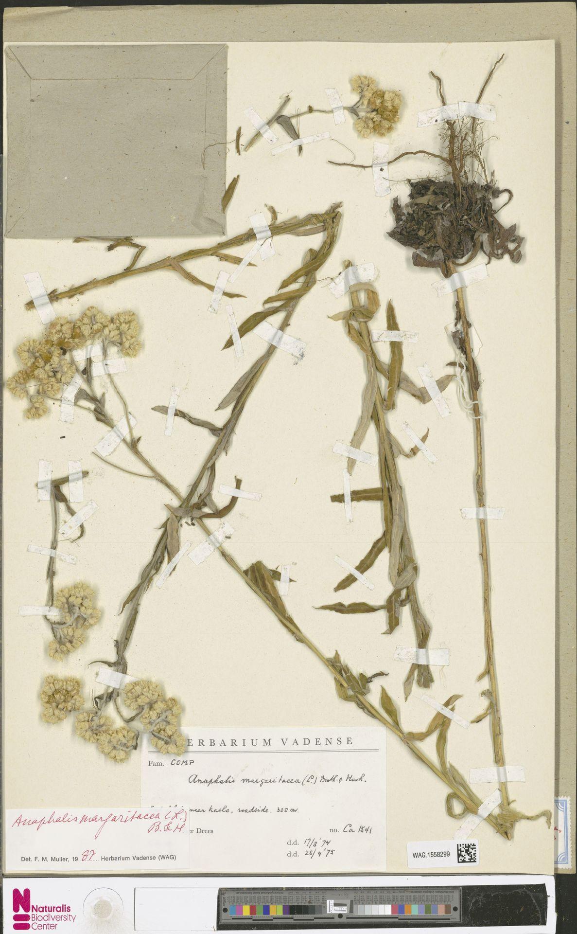 WAG.1558299 | Anaphalis margaritacea (L.) Benth. & Hook.f.