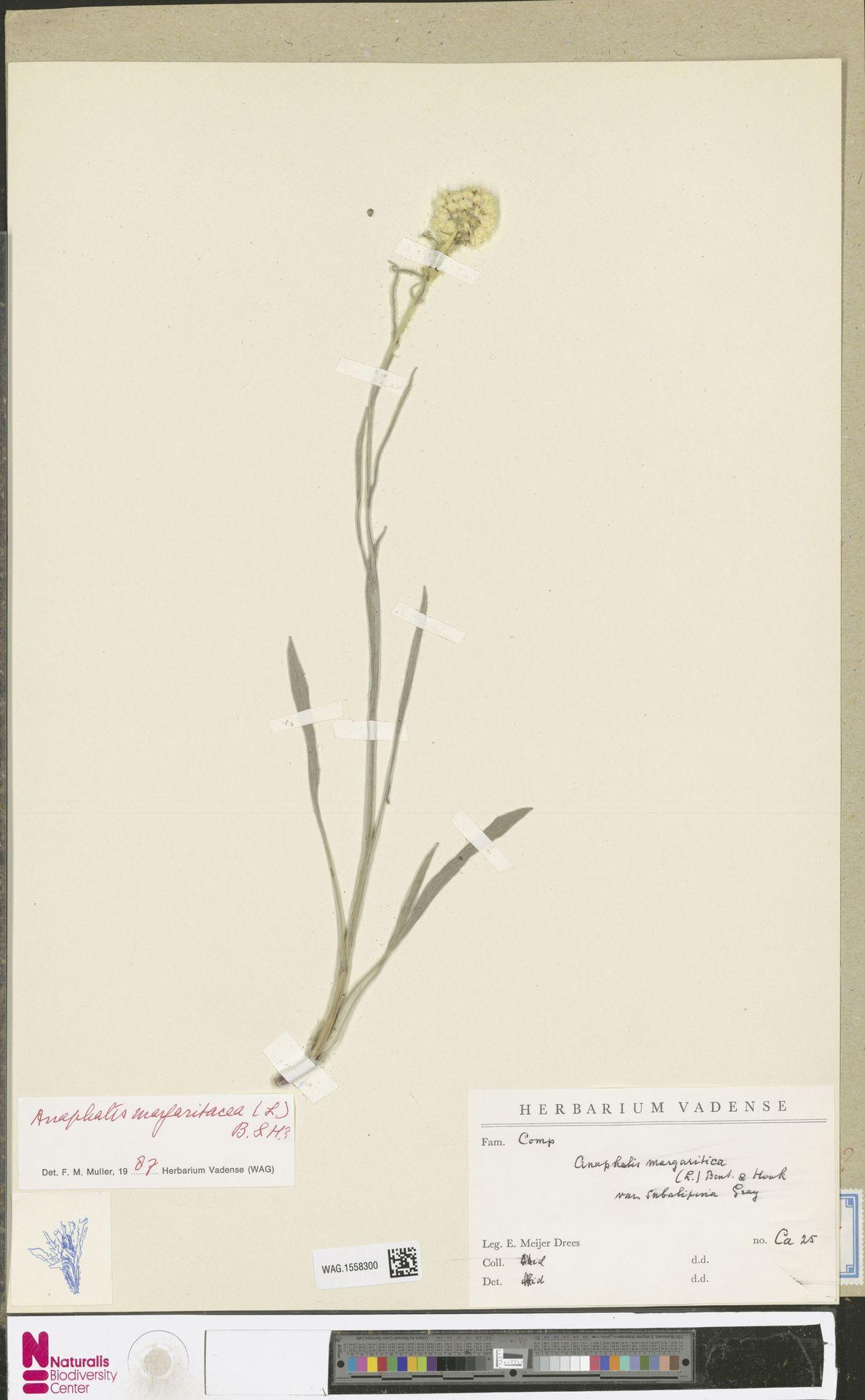 WAG.1558300 | Anaphalis margaritacea (L.) Benth. & Hook.f.