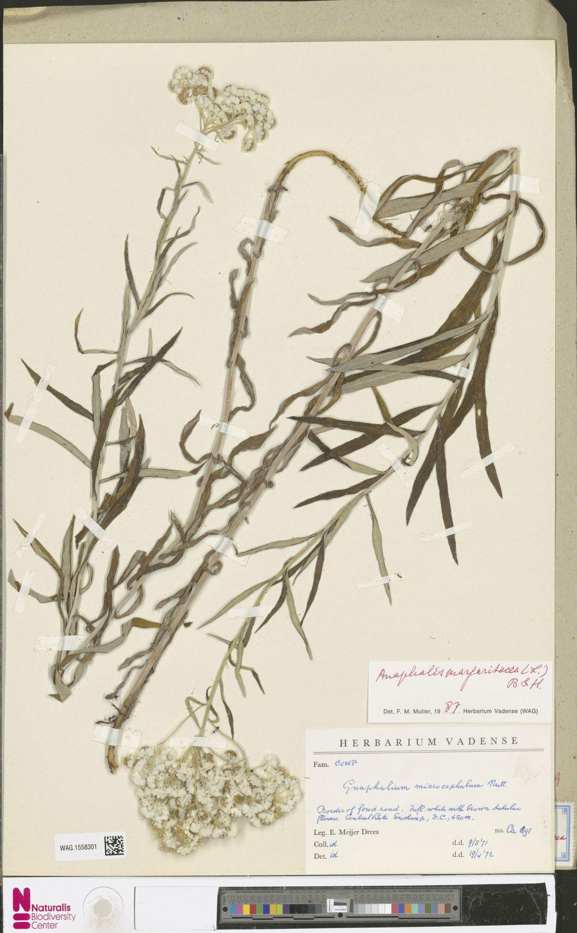 WAG.1558301   Anaphalis margaritacea (L.) Benth. & Hook.f.