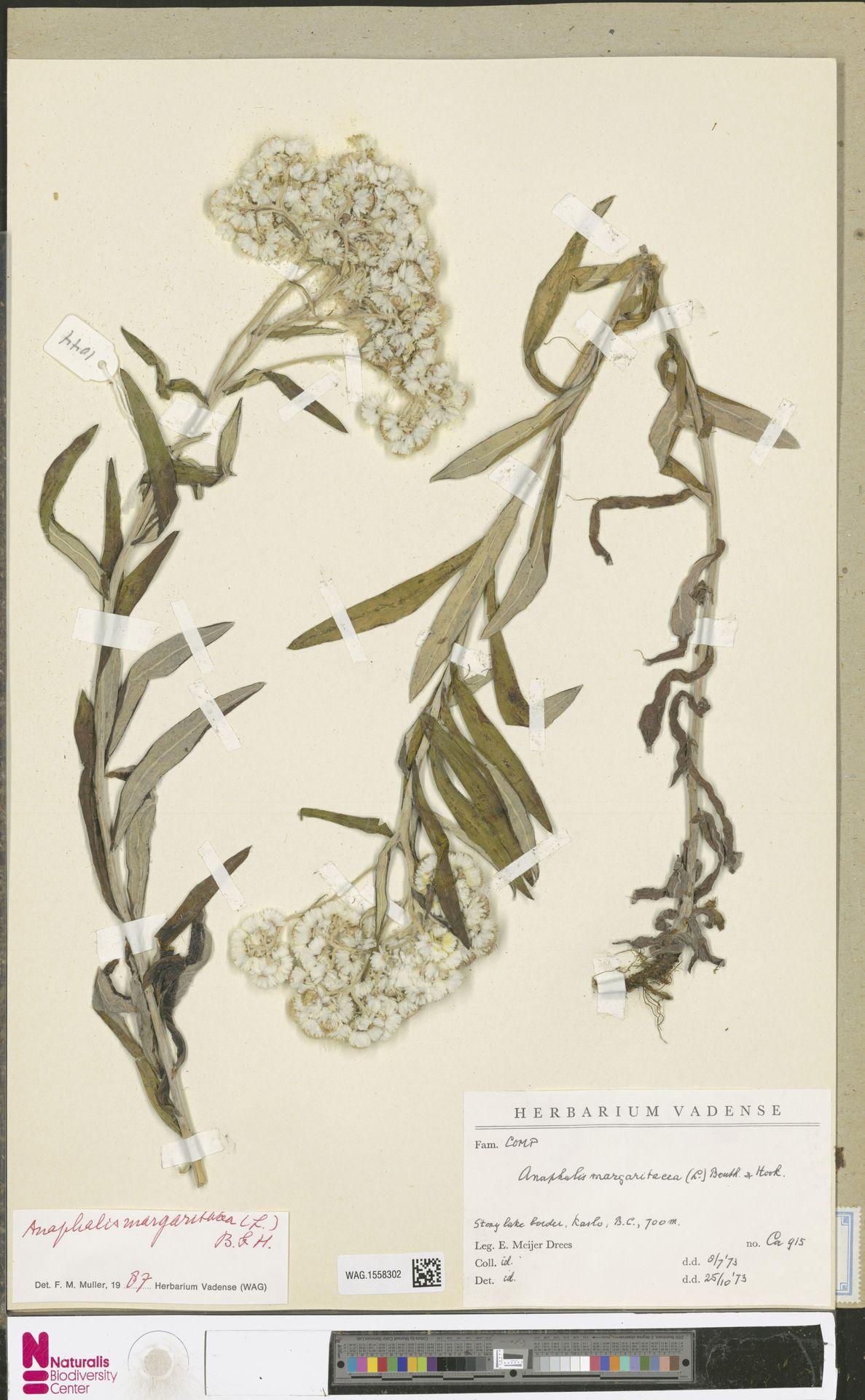 WAG.1558302   Anaphalis margaritacea (L.) Benth. & Hook.f.