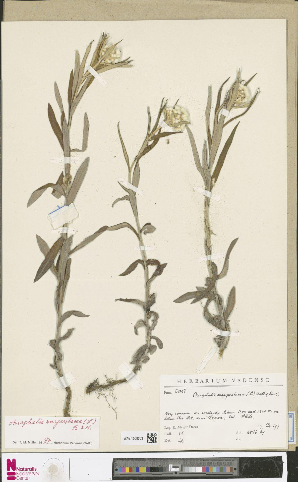 WAG.1558303   Anaphalis margaritacea (L.) Benth. & Hook.f.