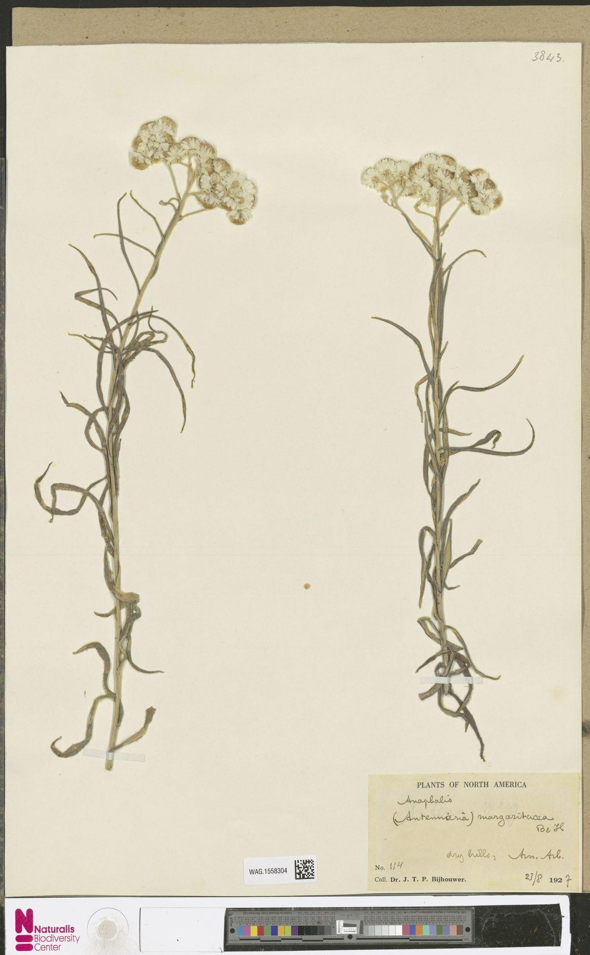 WAG.1558304 | Anaphalis margaritacea (L.) Benth. & Hook.f.