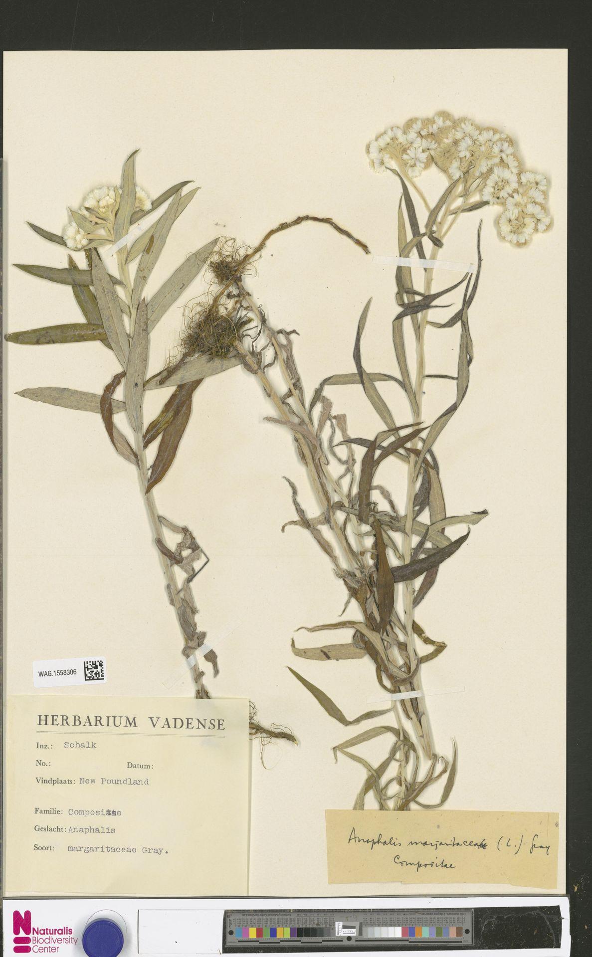 WAG.1558306 | Anaphalis margaritacea (L.) Benth. & Hook.f.