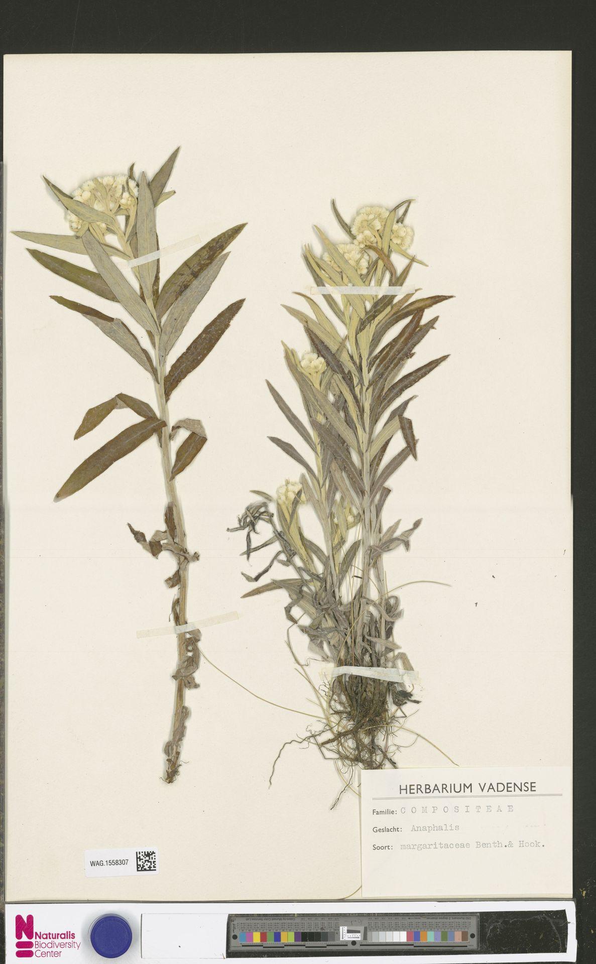 WAG.1558307 | Anaphalis margaritacea (L.) Benth. & Hook.f.