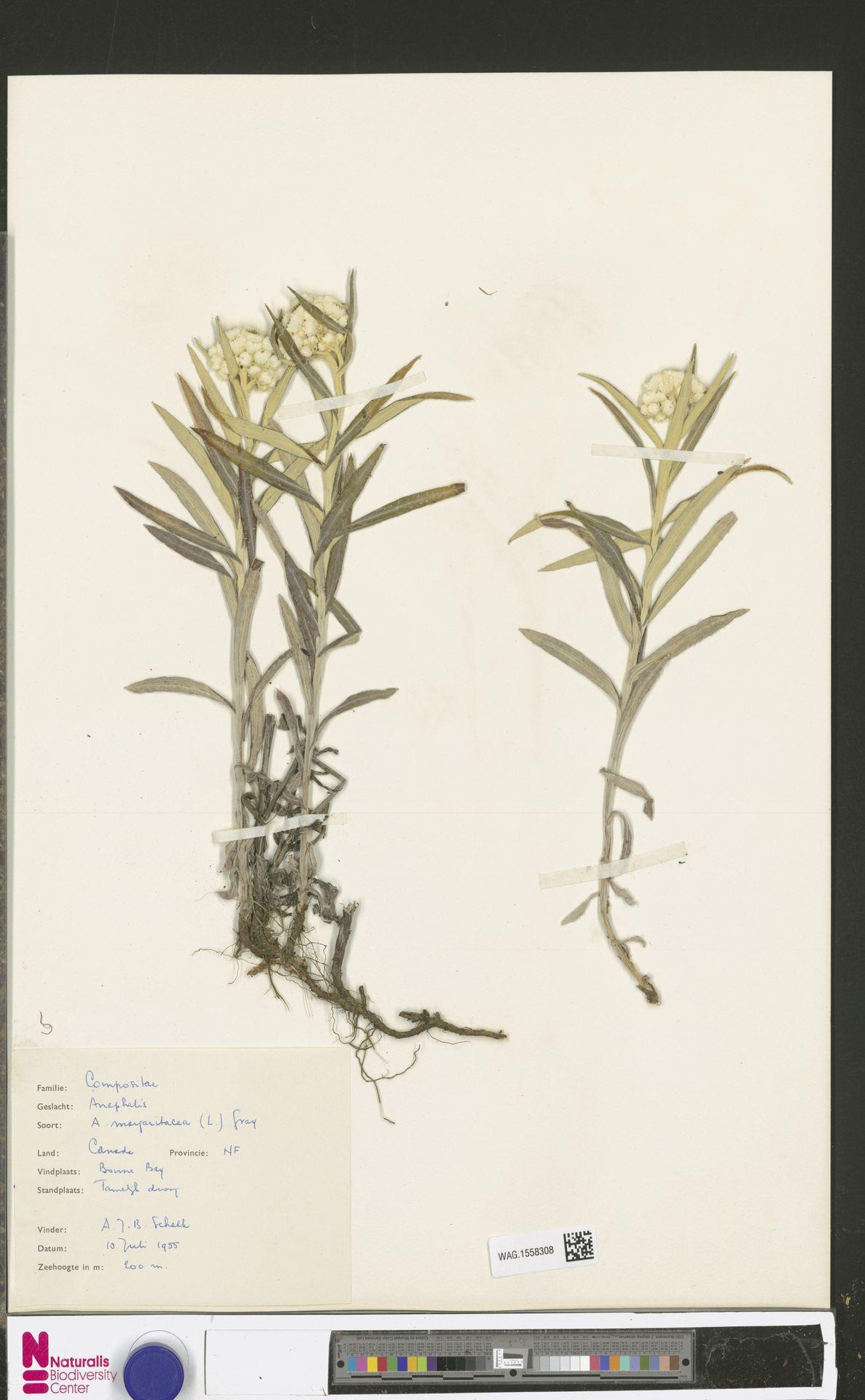WAG.1558308 | Anaphalis margaritacea (L.) Benth. & Hook.f.