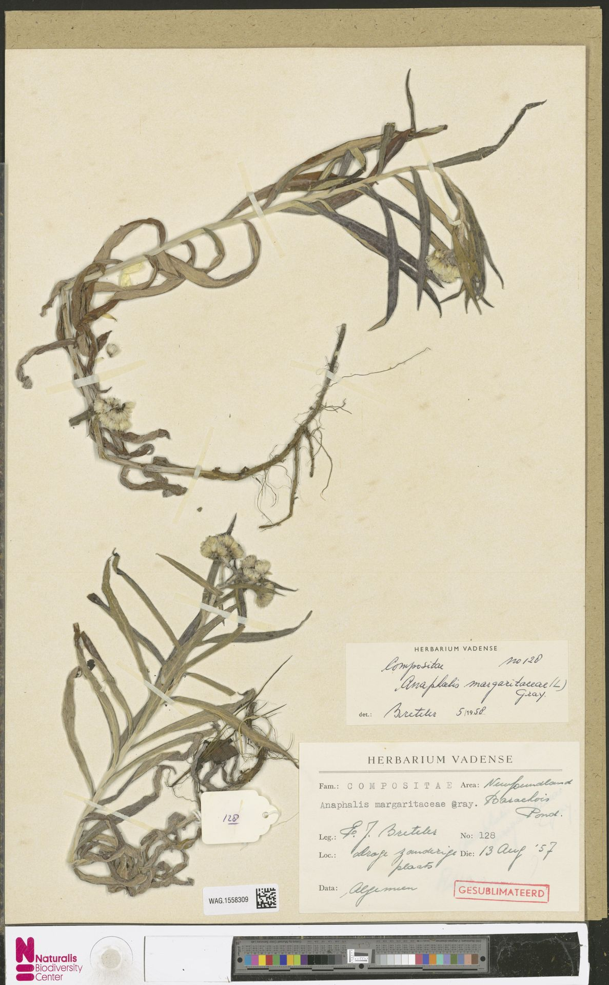 WAG.1558309 | Anaphalis margaritacea (L.) Benth. & Hook.f.