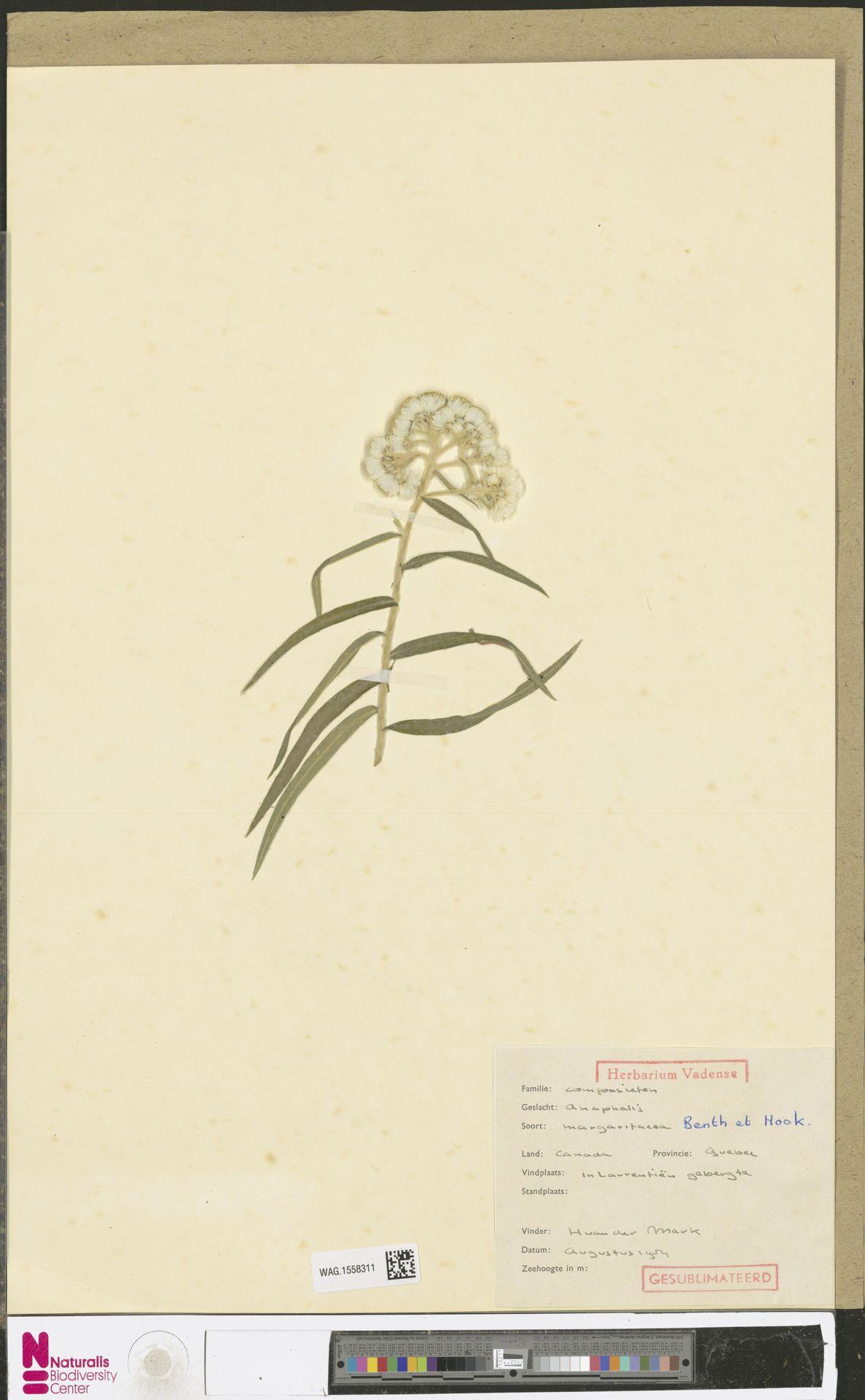 WAG.1558311 | Anaphalis margaritacea (L.) Benth. & Hook.f.