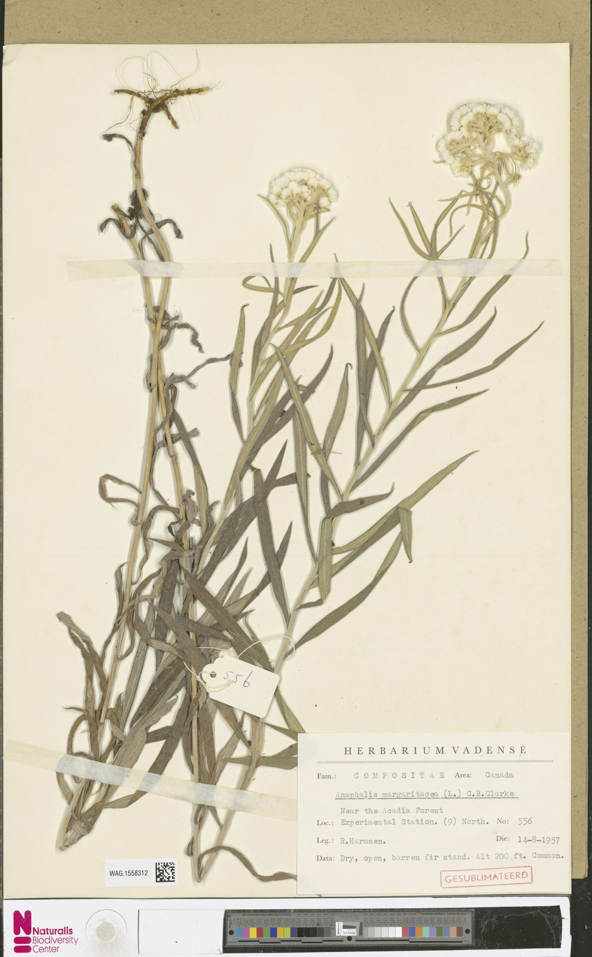 WAG.1558312 | Anaphalis margaritacea (L.) Benth. & Hook.f.
