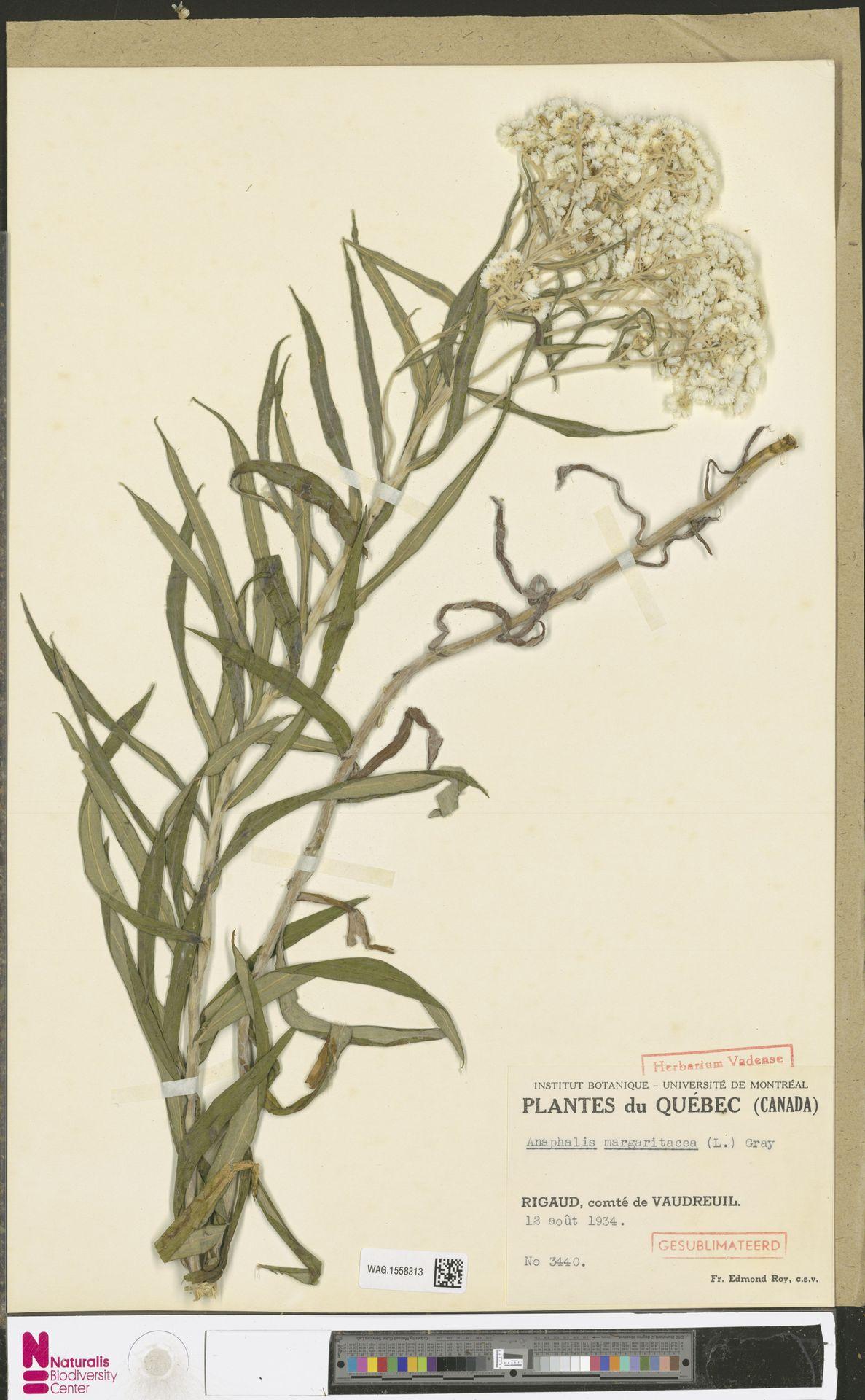 WAG.1558313 | Anaphalis margaritacea (L.) Benth. & Hook.f.