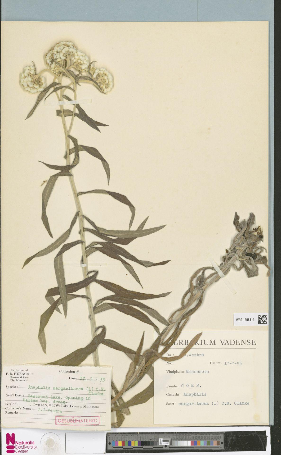 WAG.1558314 | Anaphalis margaritacea (L.) Benth. & Hook.f.