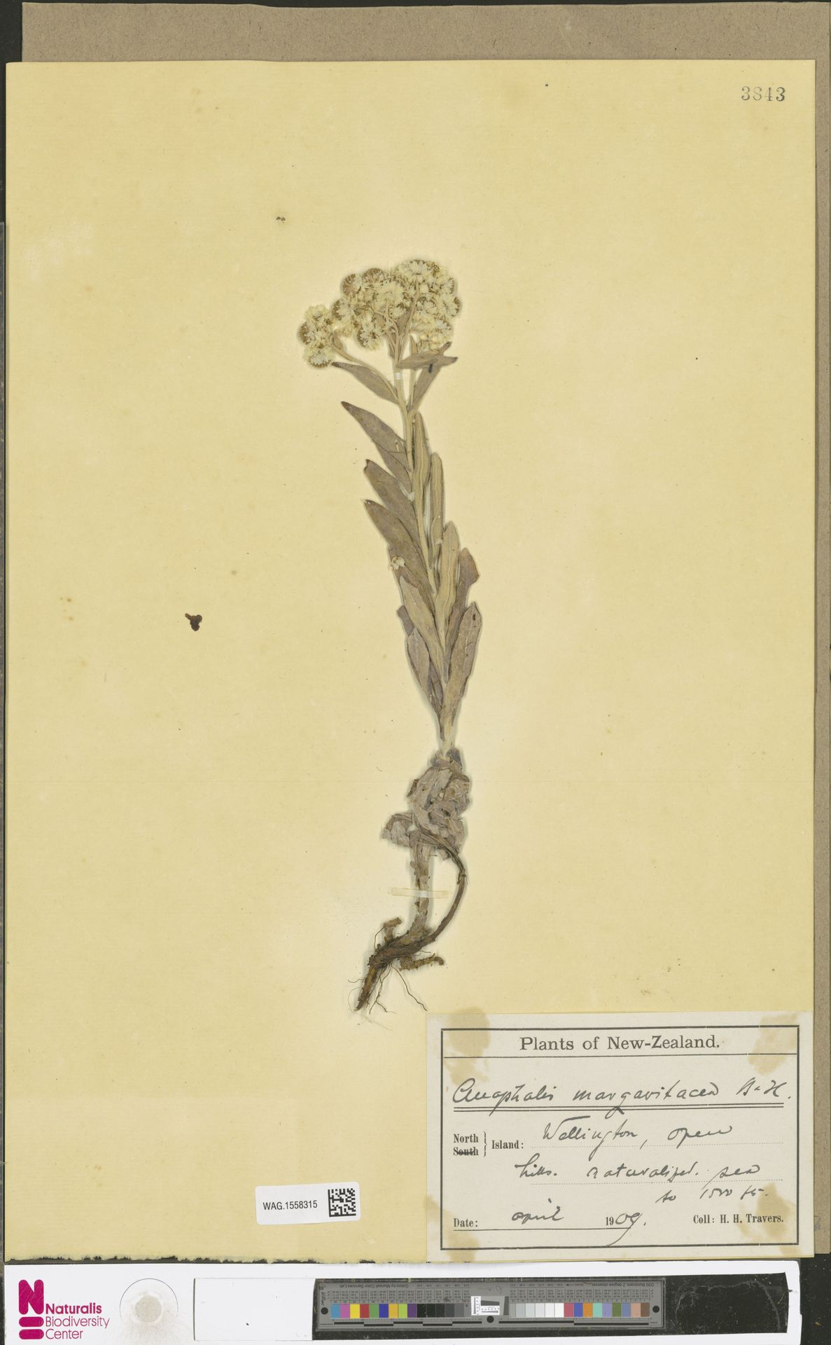 WAG.1558315 | Anaphalis margaritacea (L.) Benth. & Hook.f.