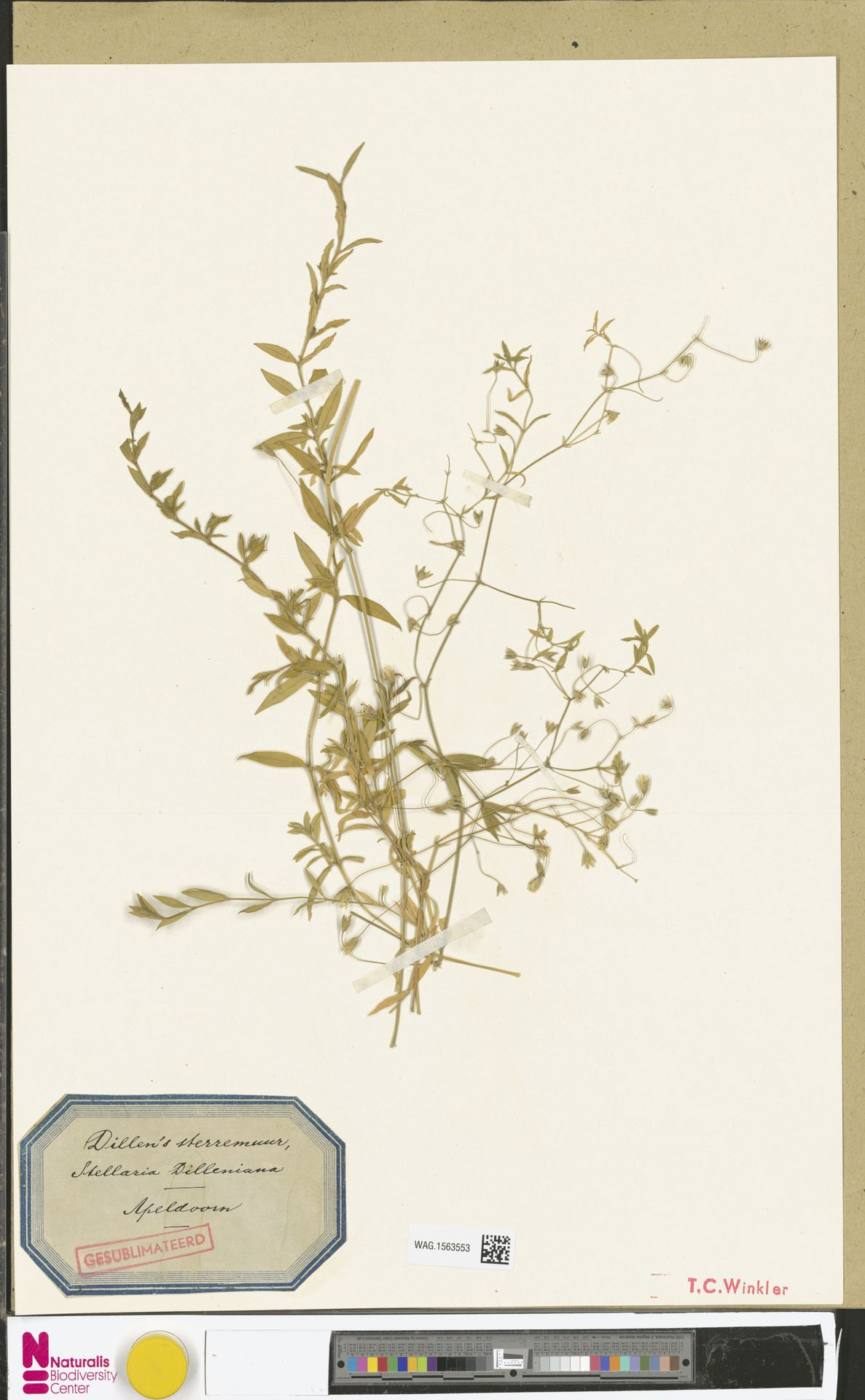 WAG.1563553 | Stellaria palustris Ehrh. ex Retz.