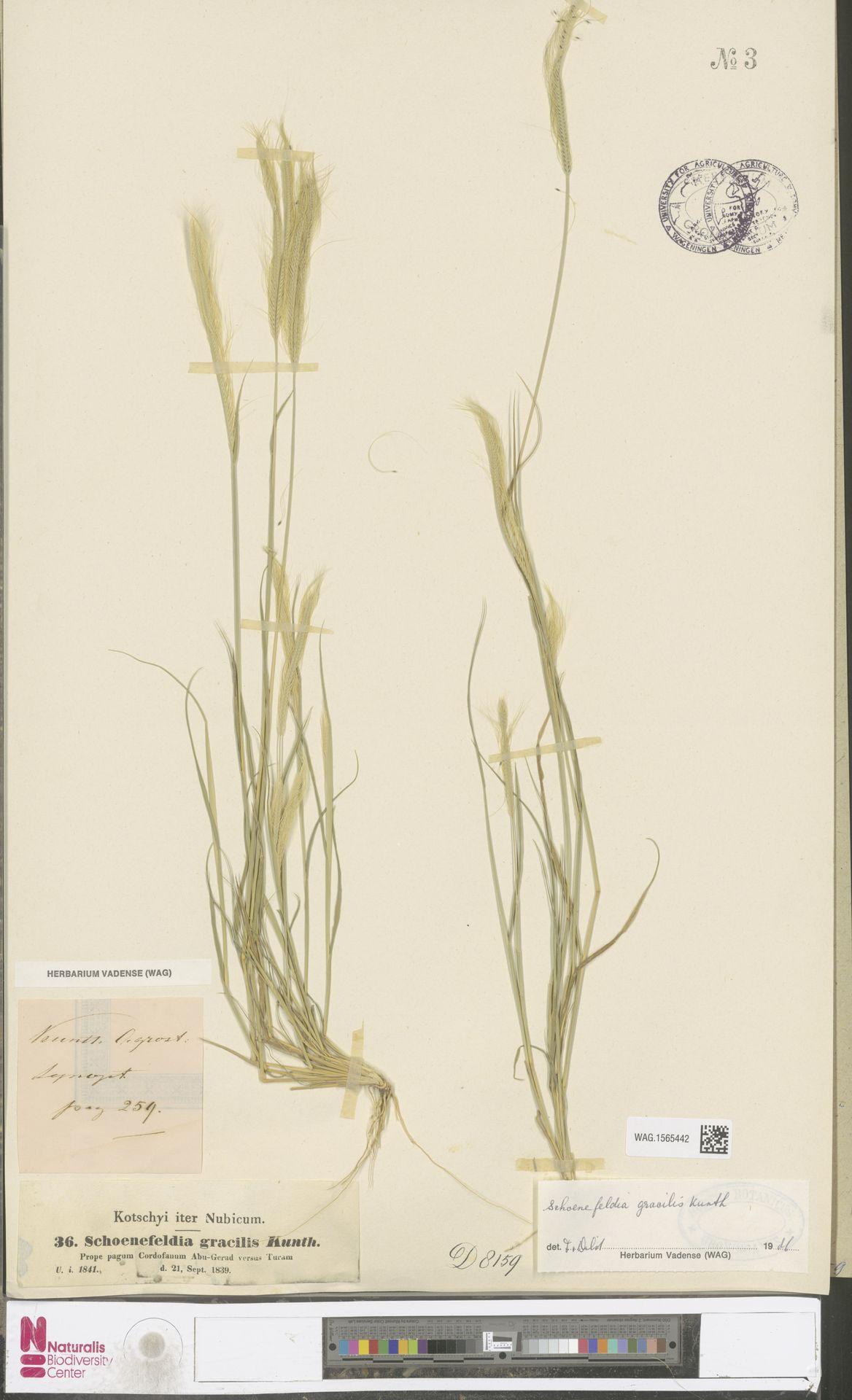 WAG.1565442 | Schoenefeldia gracilis Kunth