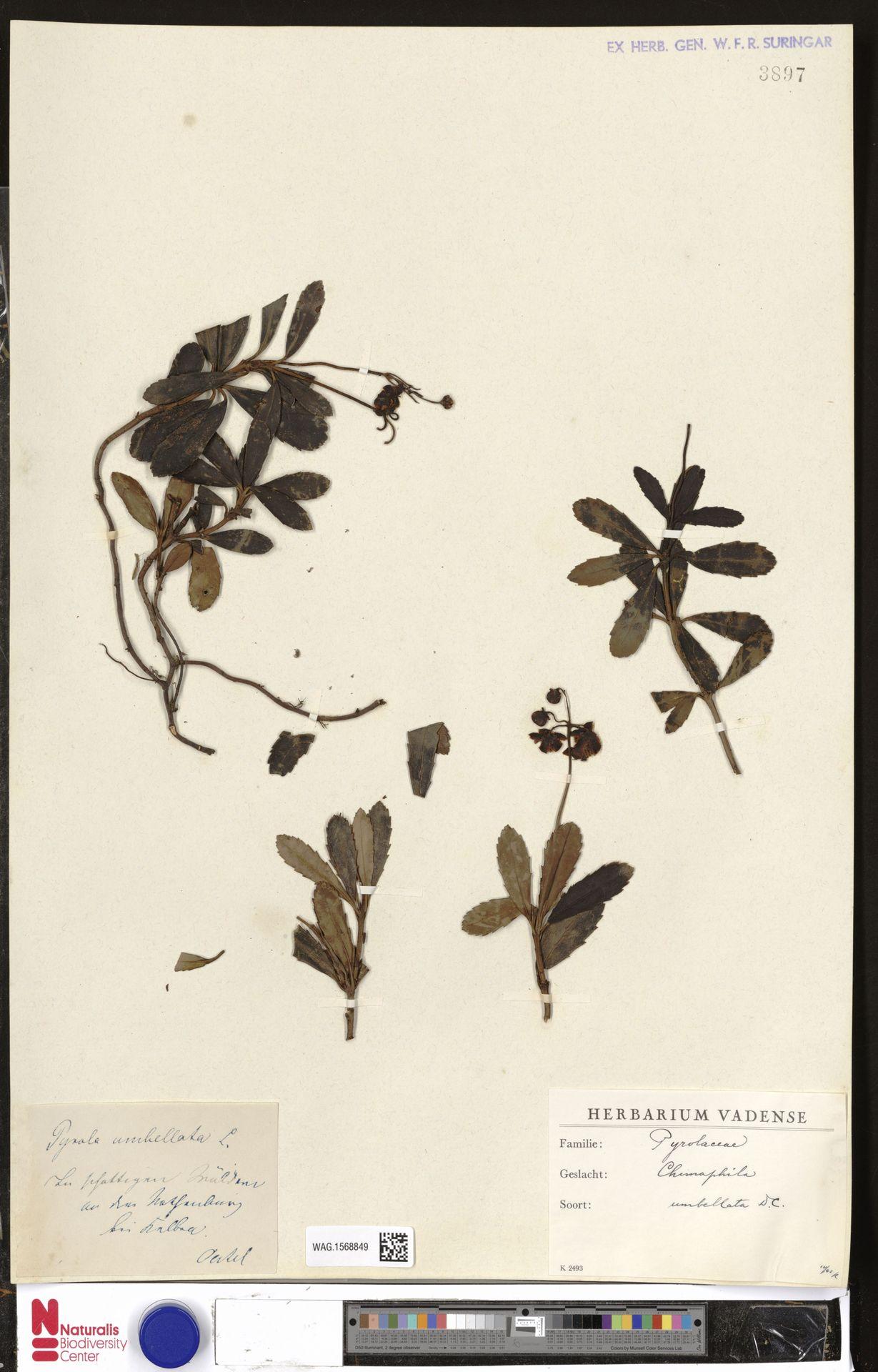 WAG.1568849 | Chimaphila umbellata (L.) W.C.Barton