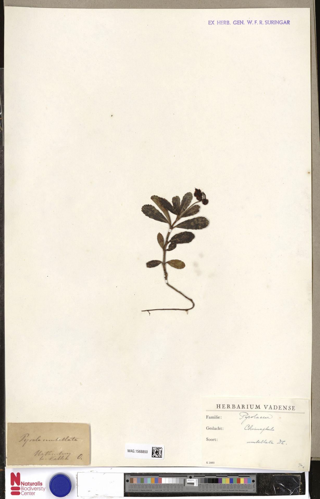 WAG.1568850 | Chimaphila umbellata (L.) W.C.Barton