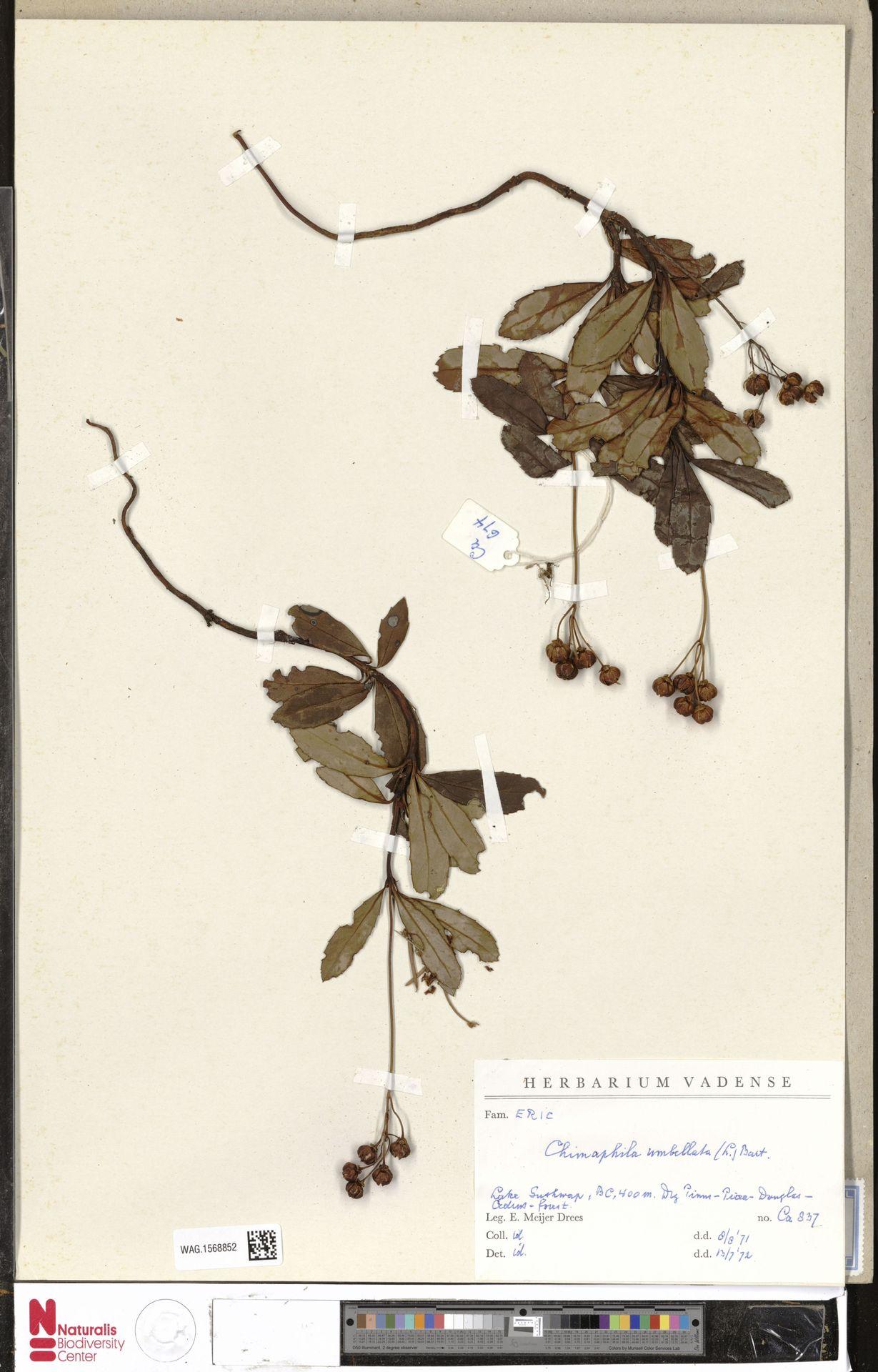 WAG.1568852 | Chimaphila umbellata (L.) W.C.Barton