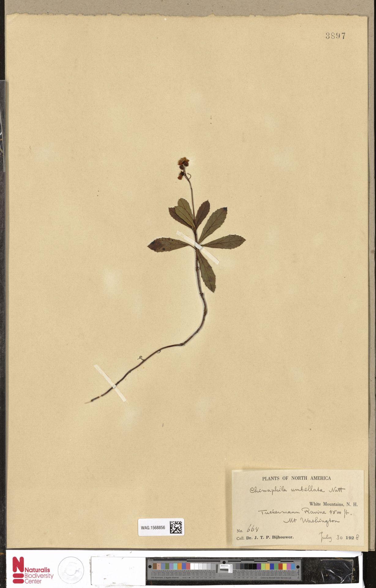 WAG.1568856 | Chimaphila umbellata (L.) W.C.Barton