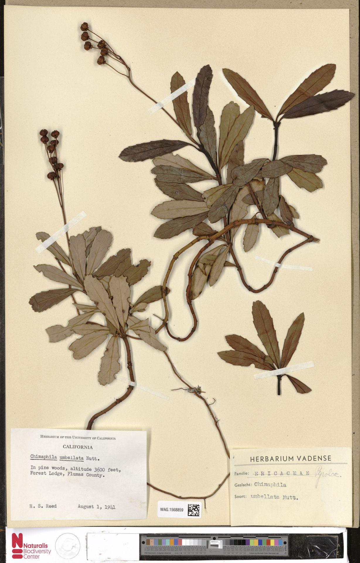 WAG.1568859 | Chimaphila umbellata (L.) W.C.Barton