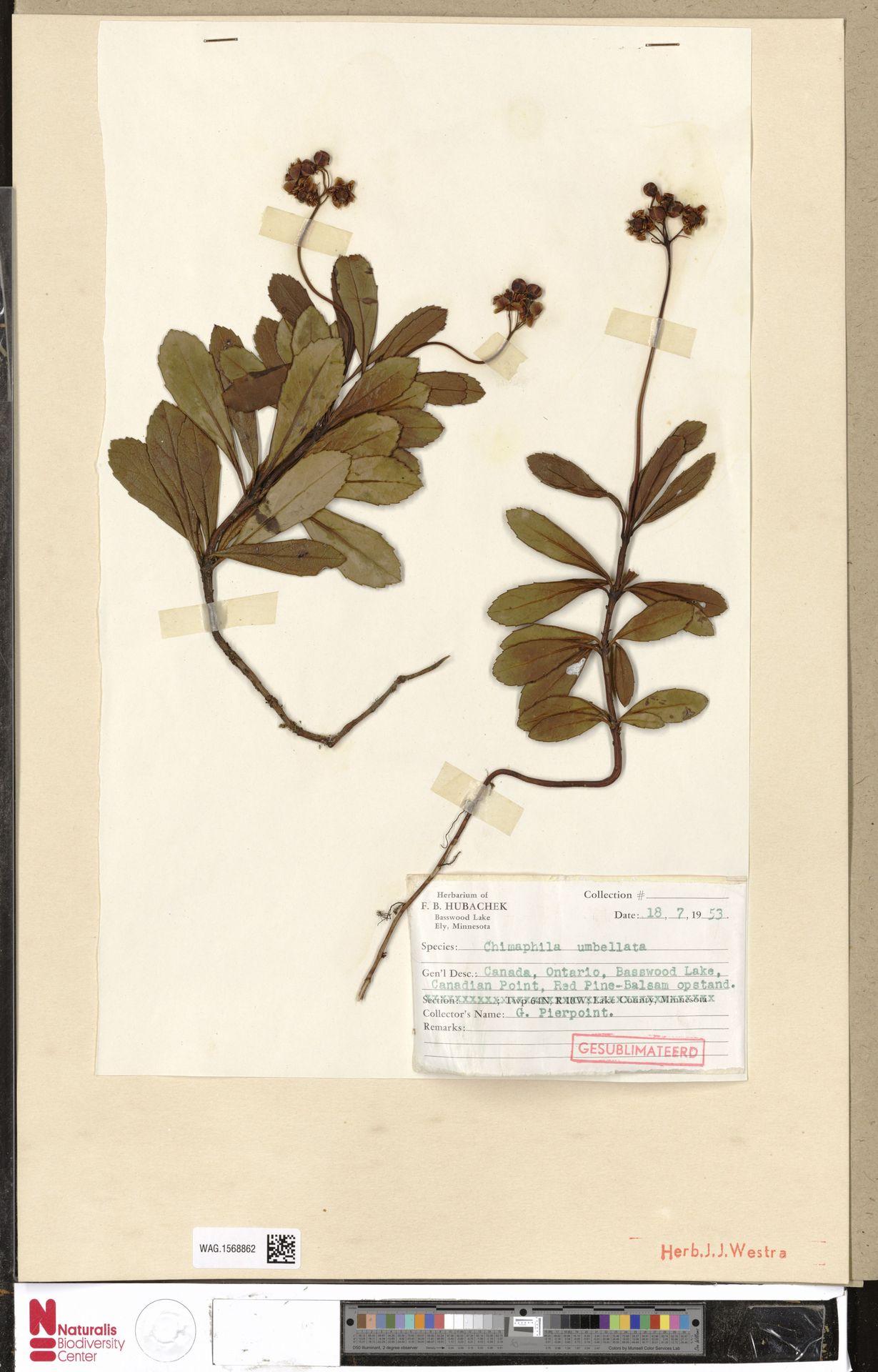 WAG.1568862 | Chimaphila umbellata (L.) W.C.Barton