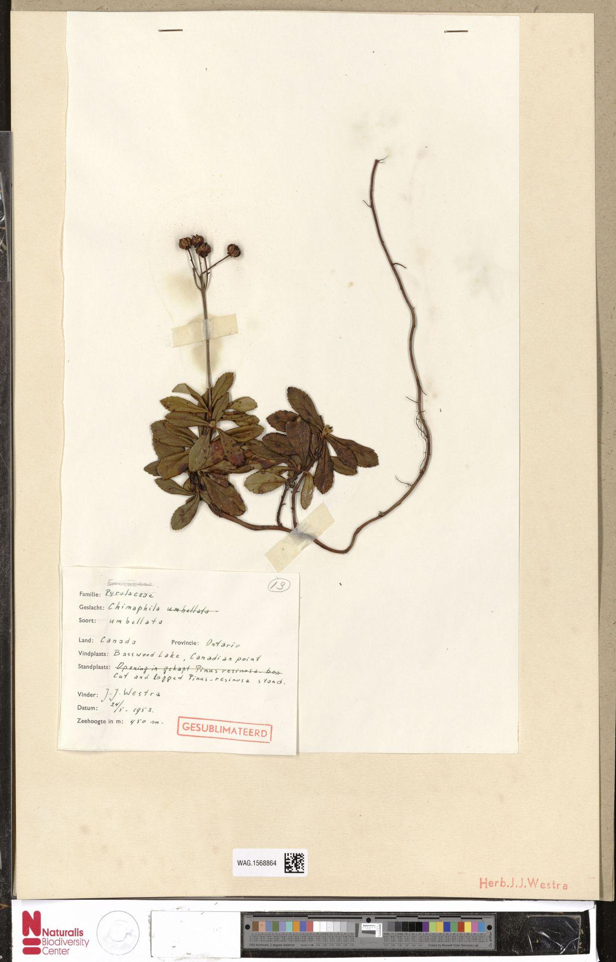 WAG.1568864 | Chimaphila umbellata (L.) W.C.Barton
