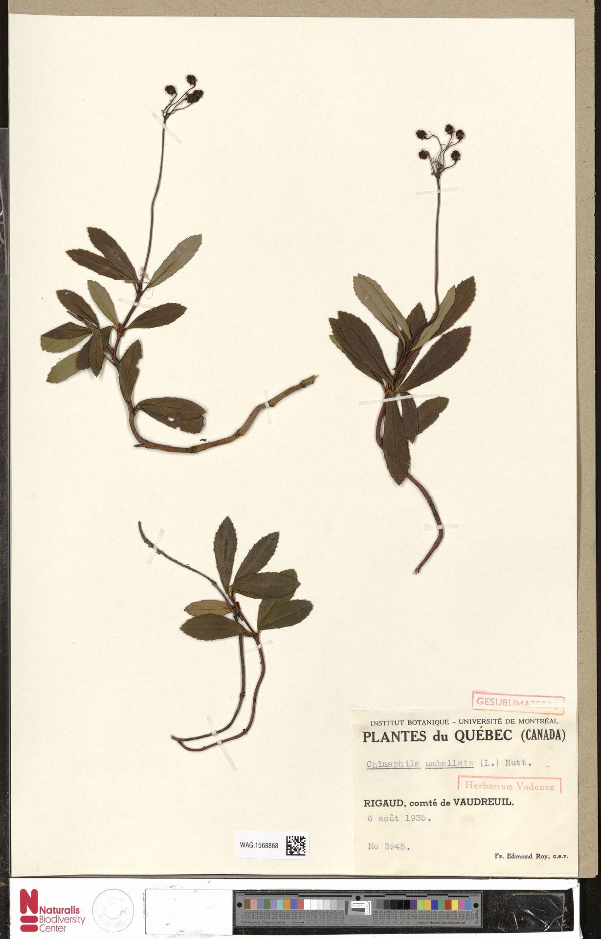 WAG.1568868 | Chimaphila umbellata (L.) W.C.Barton