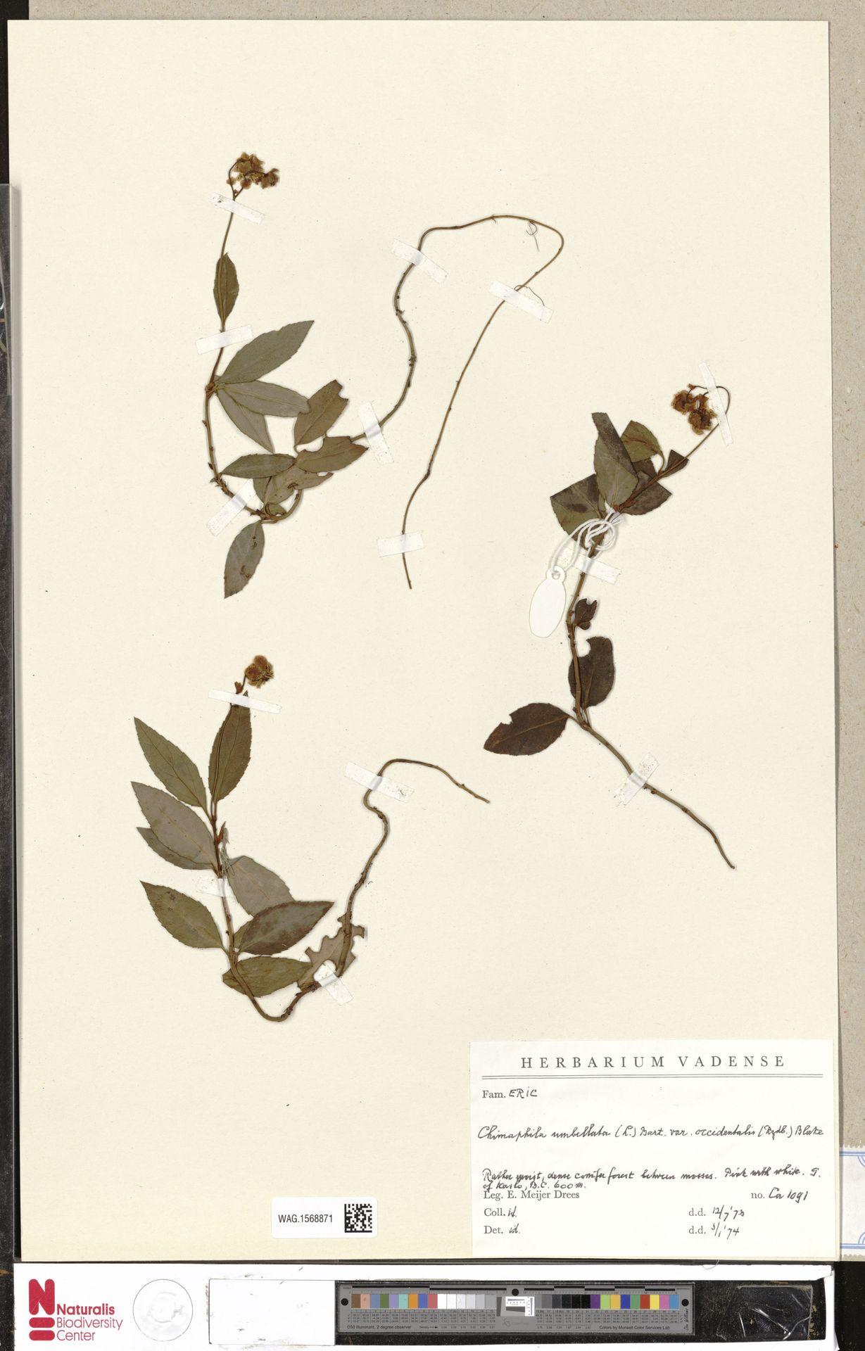 WAG.1568871   Chimaphila umbellata var. occidentalis