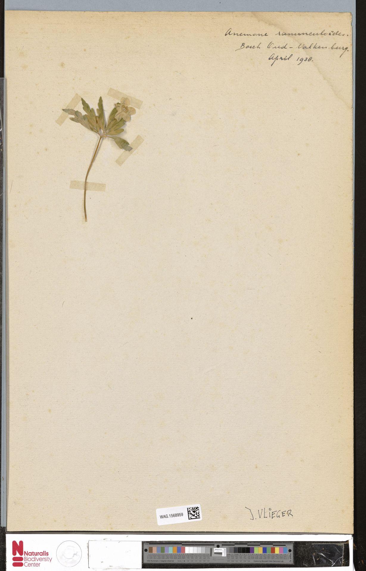 WAG.1568959 | Anemone ranunculoides L.
