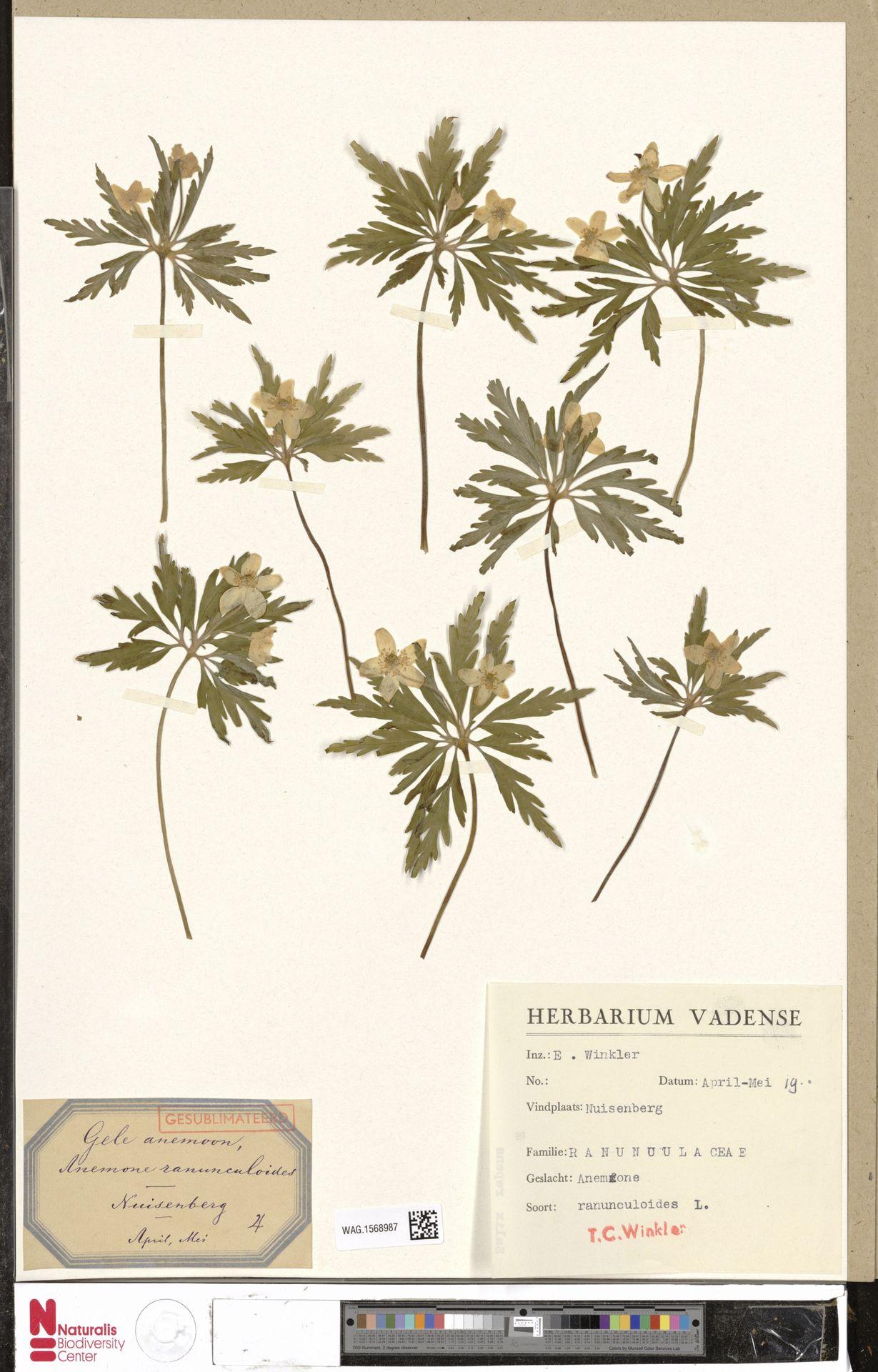 WAG.1568987 | Anemone ranunculoides L.