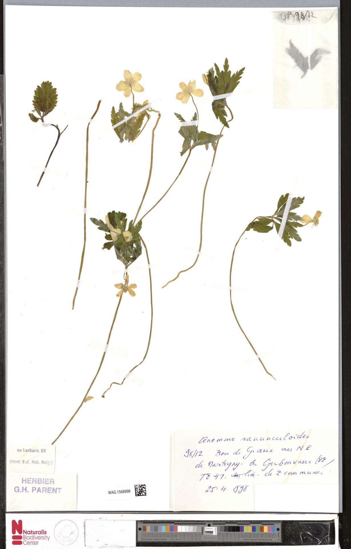 WAG.1568998 | Anemone ranunculoides L.