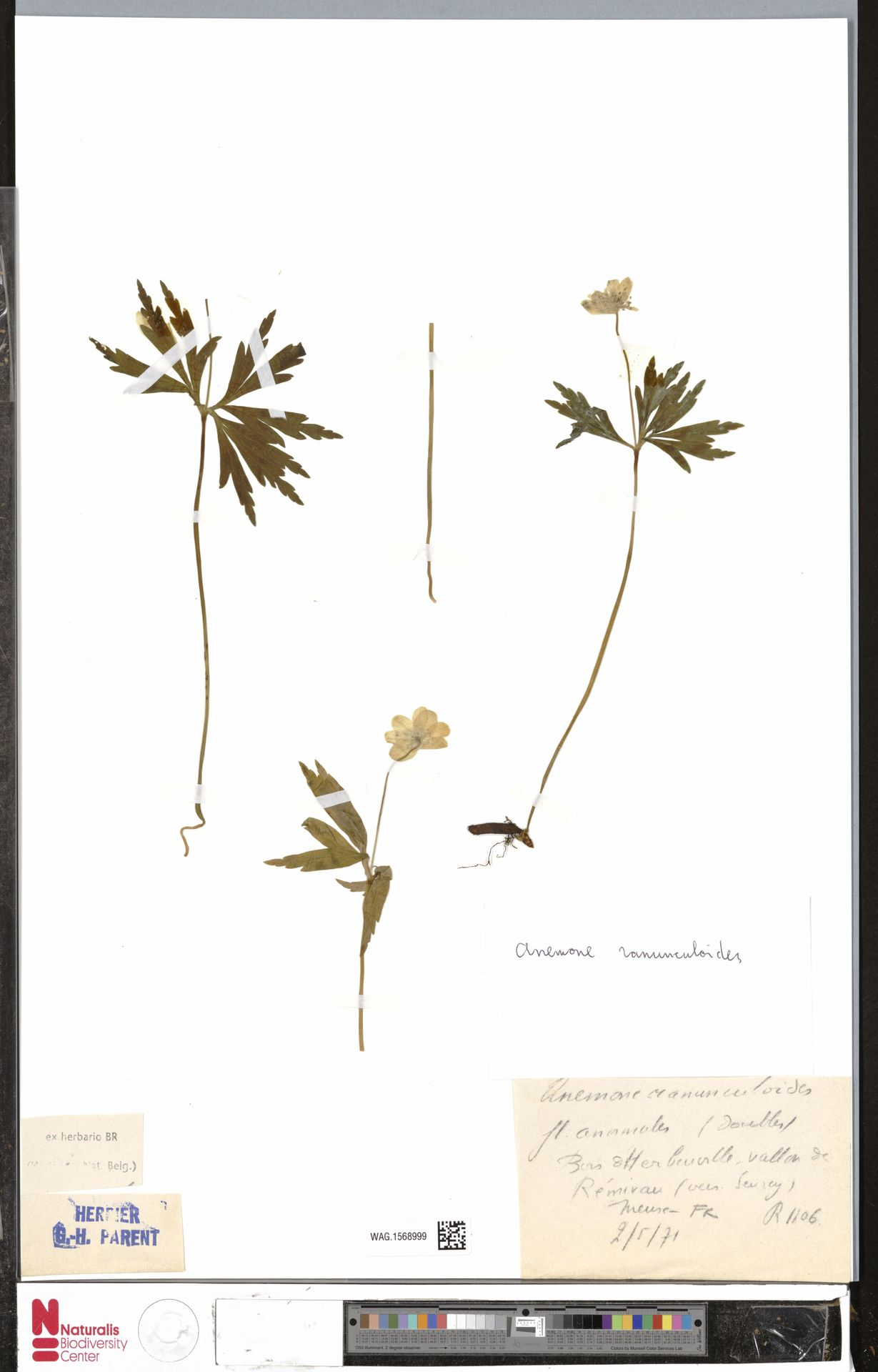 WAG.1568999 | Anemone ranunculoides L.