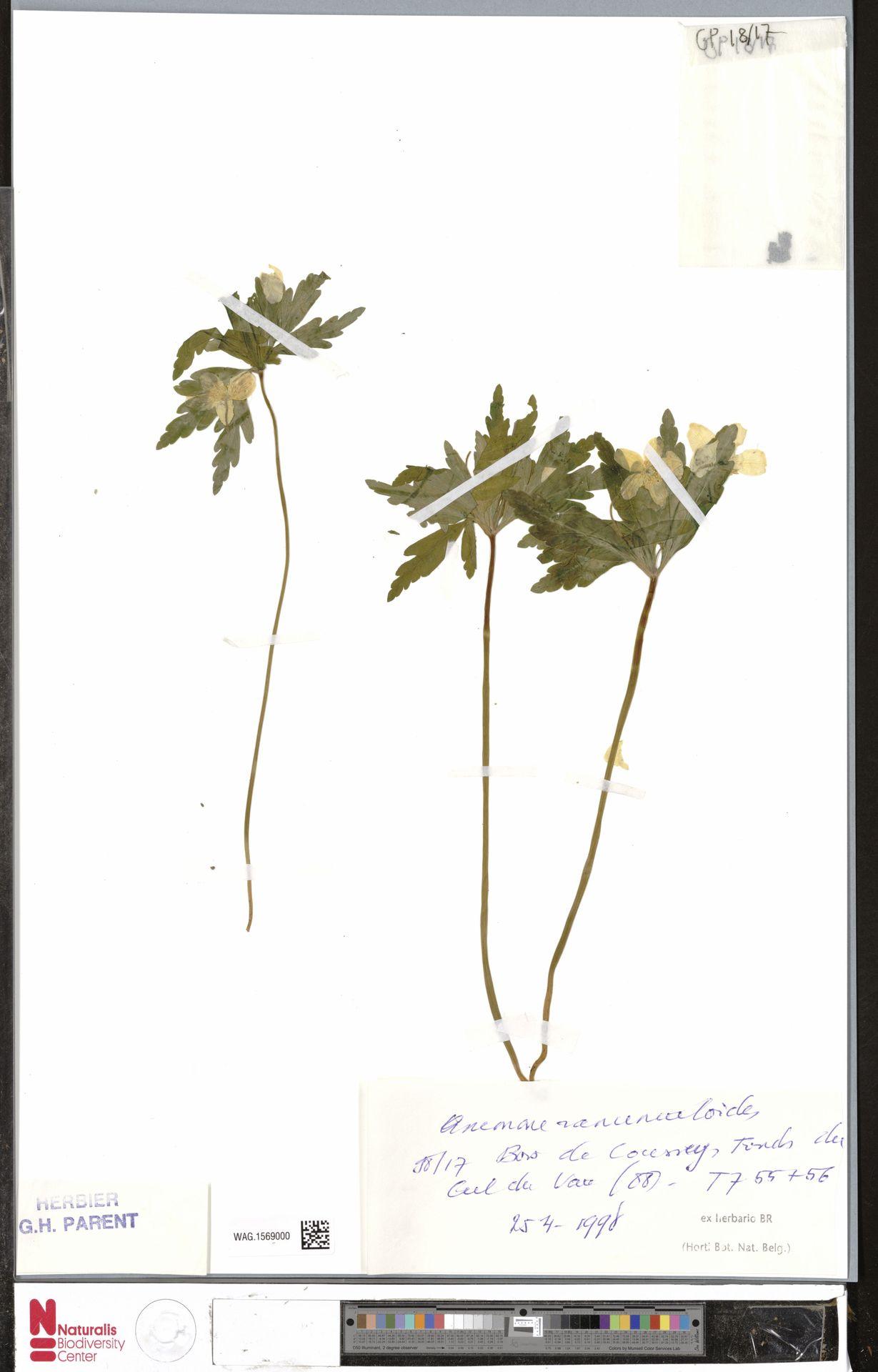 WAG.1569000   Anemone ranunculoides L.