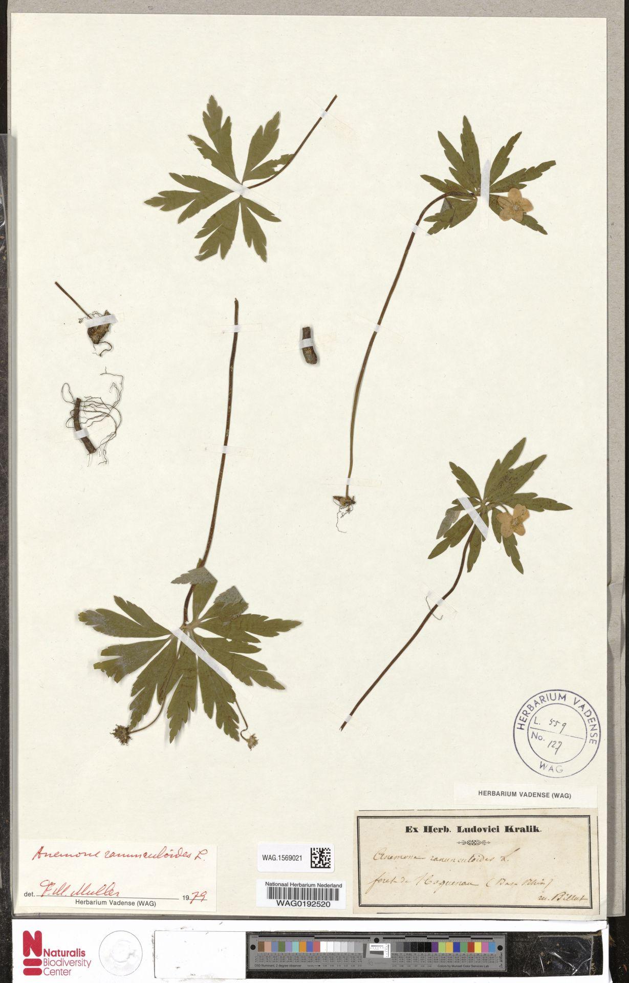 WAG.1569021 | Anemone ranunculoides L.