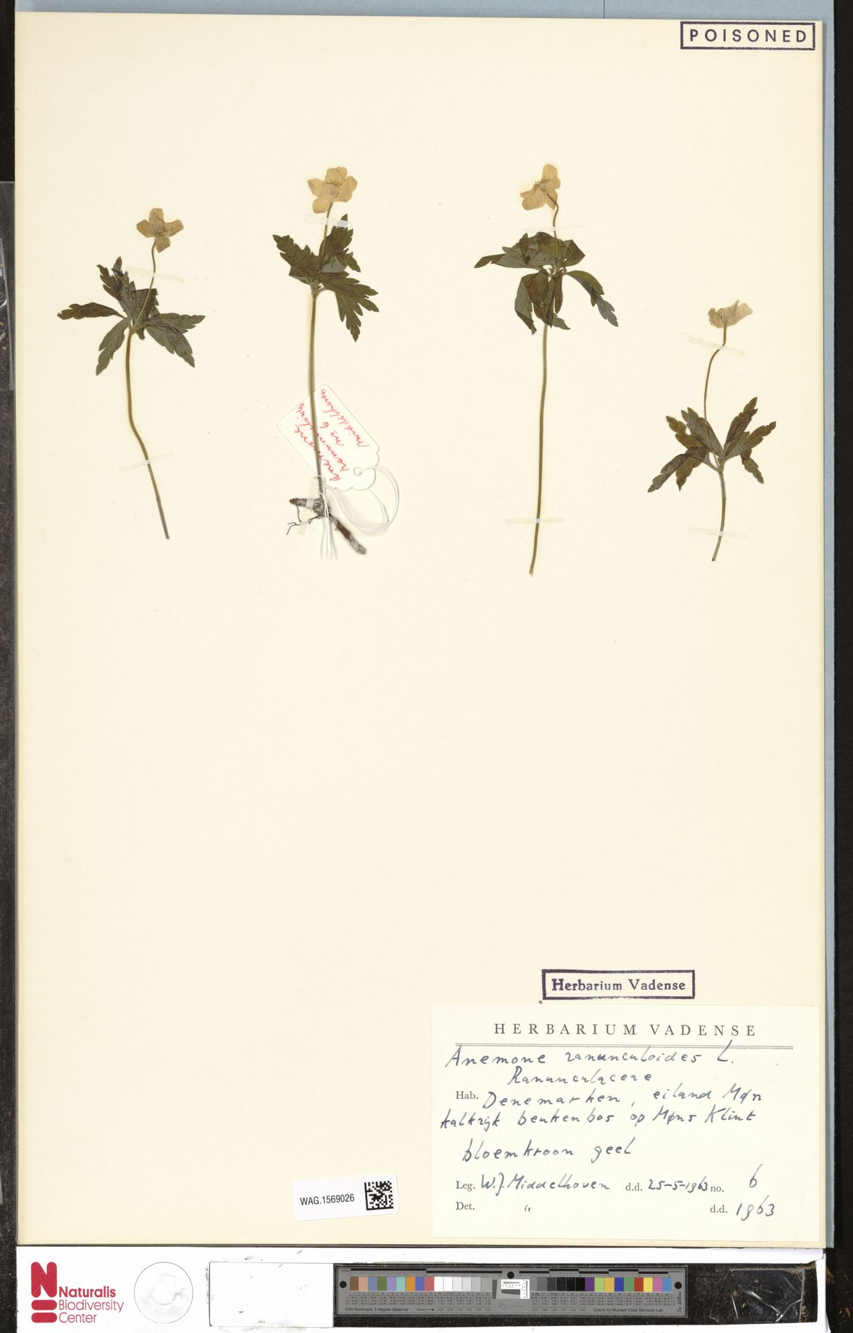 WAG.1569026   Anemone ranunculoides L.