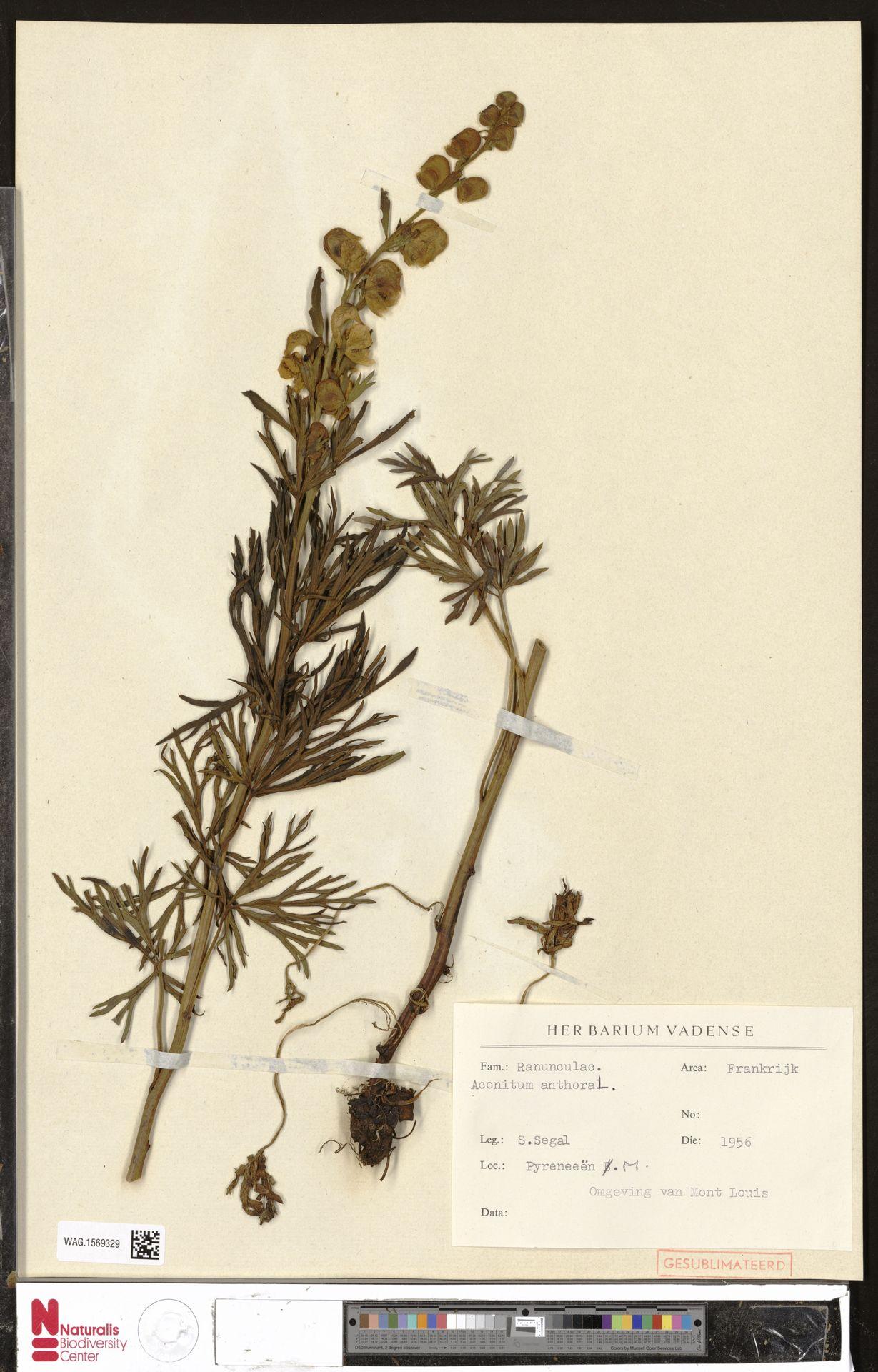 WAG.1569329   Aconitum anthora L.