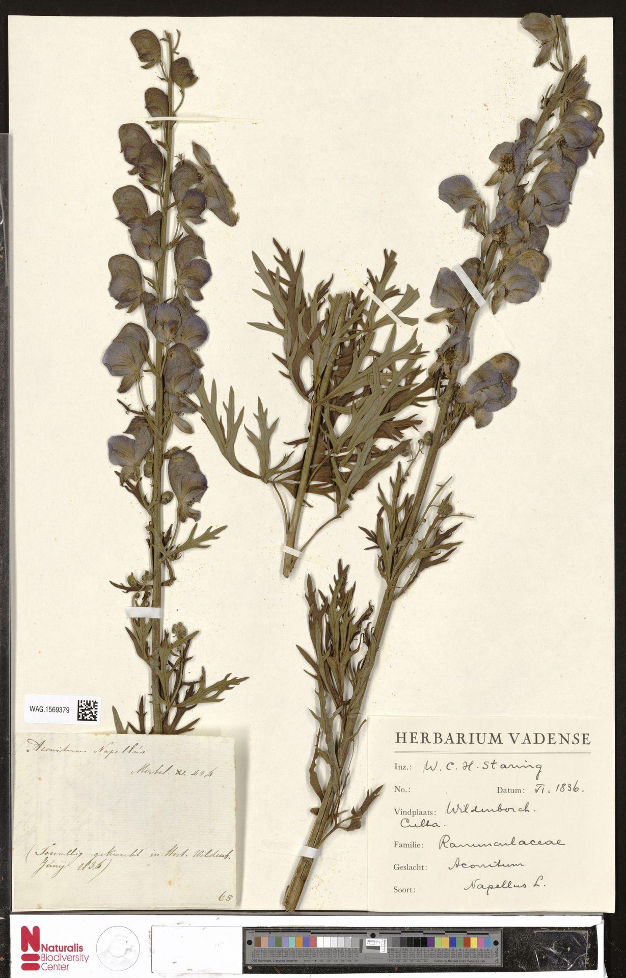 WAG.1569379 | Aconitum napellus L.
