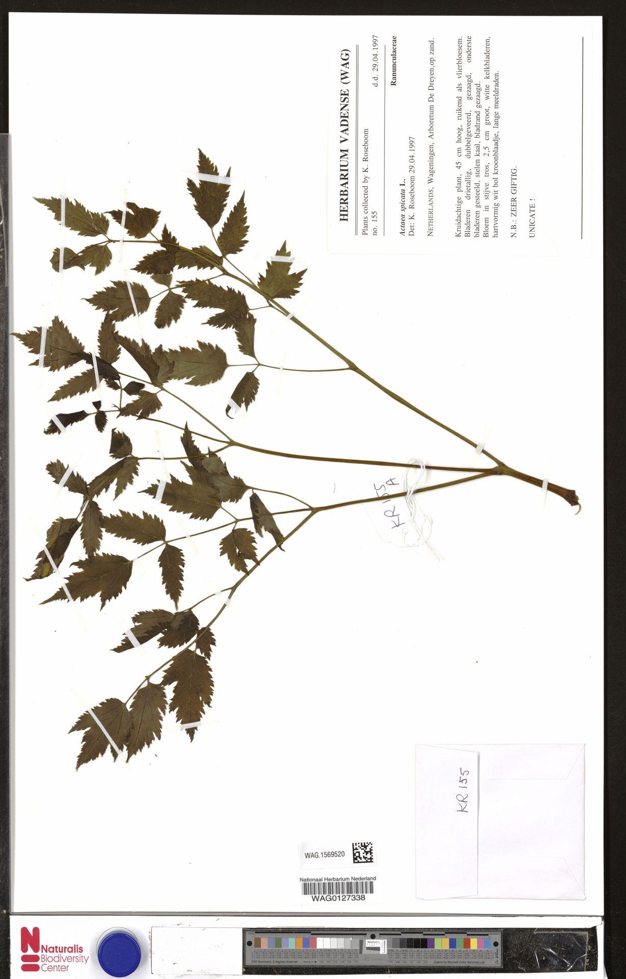 WAG.1569520   Actaea spicata L.