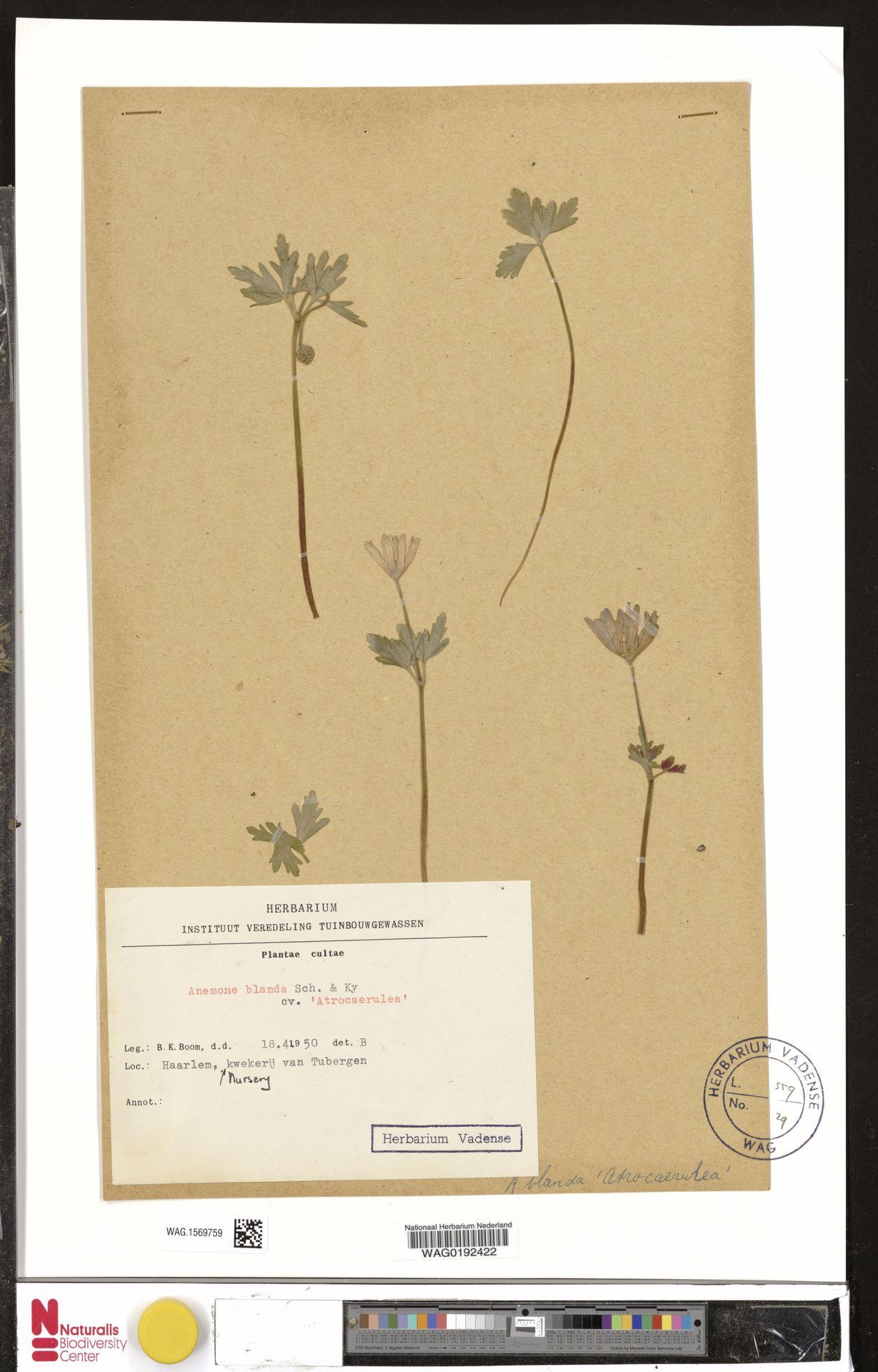 WAG.1569759 | Anemone blanda cv. 'Atrocaerulea'